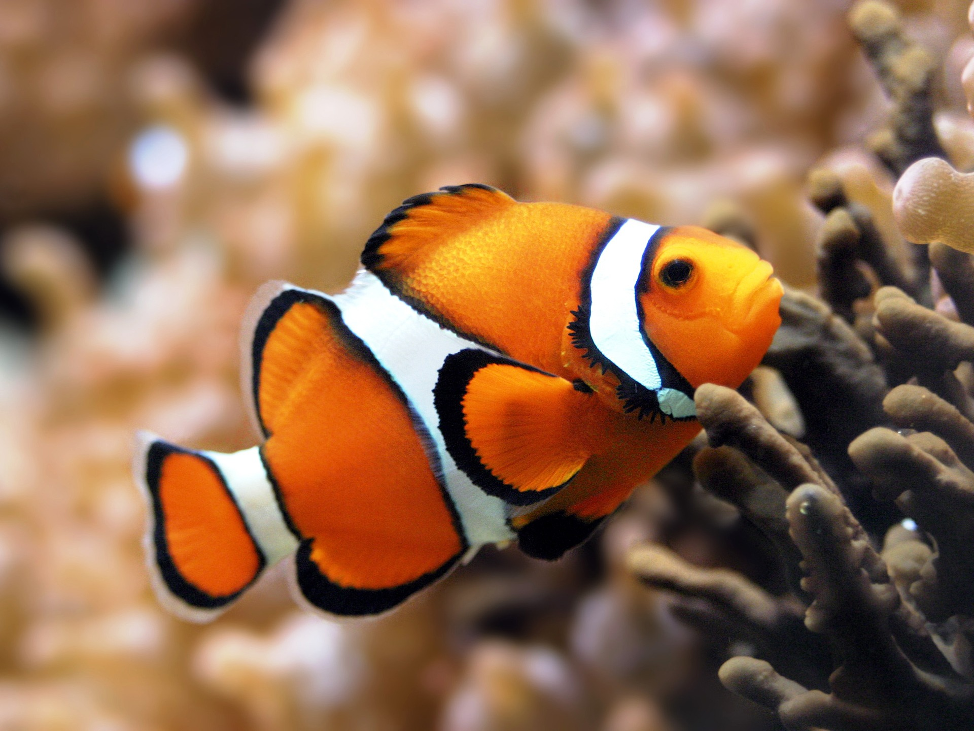 orange clownfish wallpaper fish animals wallpapers in jpg format for
