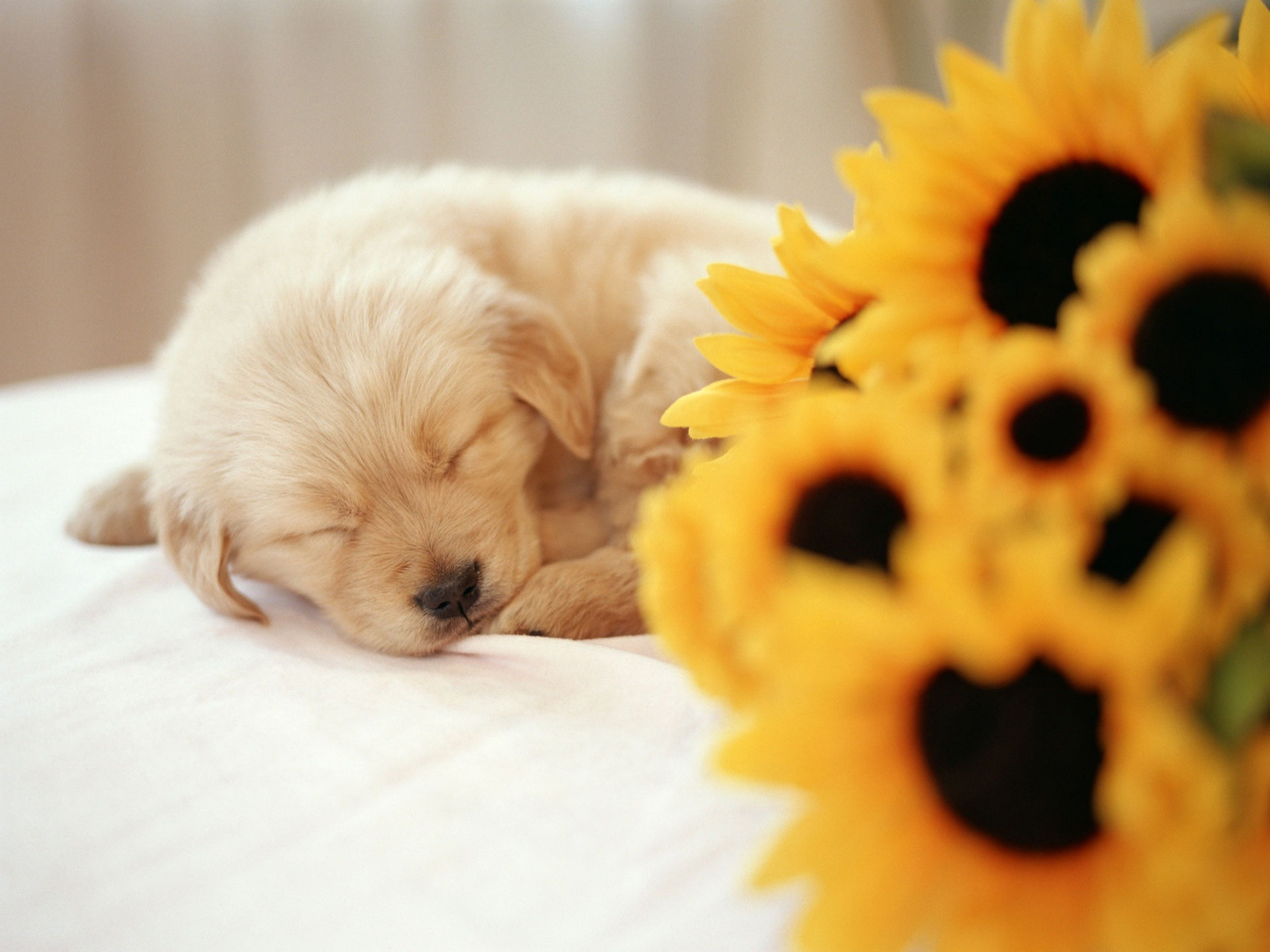 Sleeping Puppy Wallpaper Dogs Animals Wallpapers