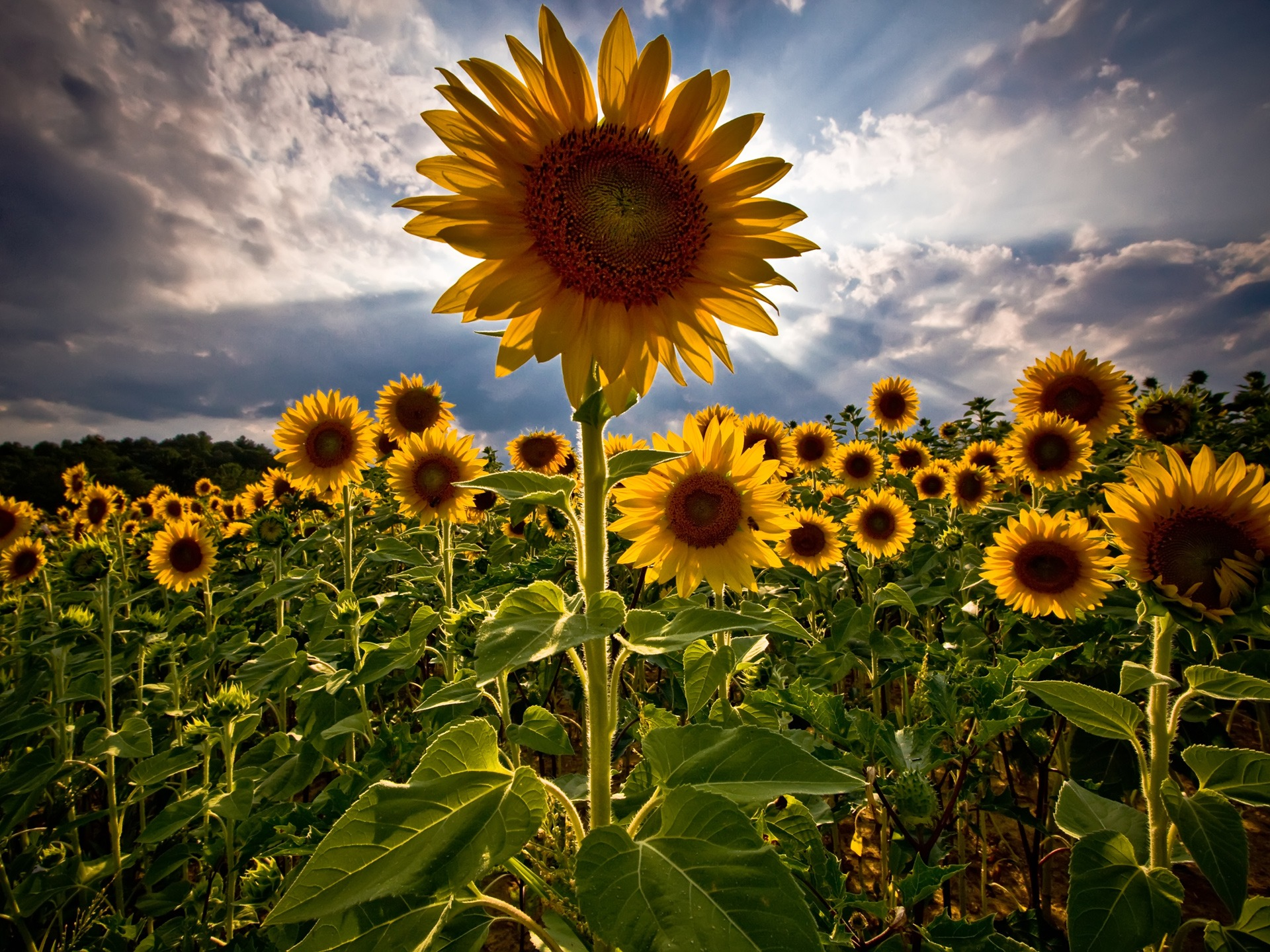 Sunflowers Wallpaper Flowers Nature Wallpapers