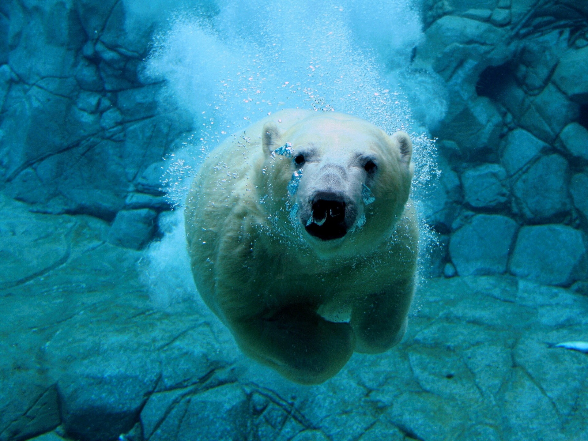 swimming polar bear wallpaper bears animals wallpapers in jpg format