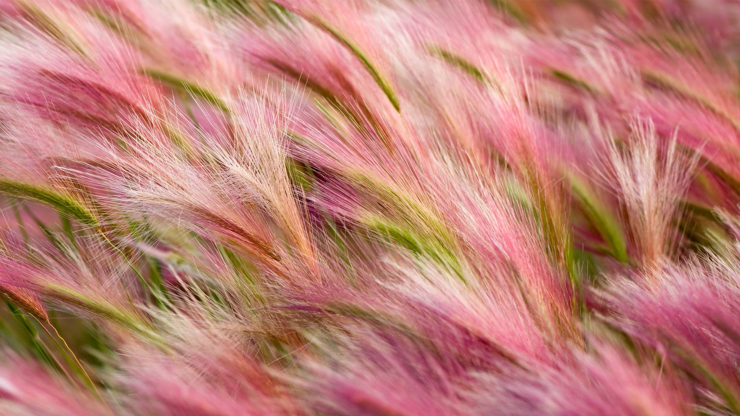 Foxtail Barley Wallpapers in jpg format for free download