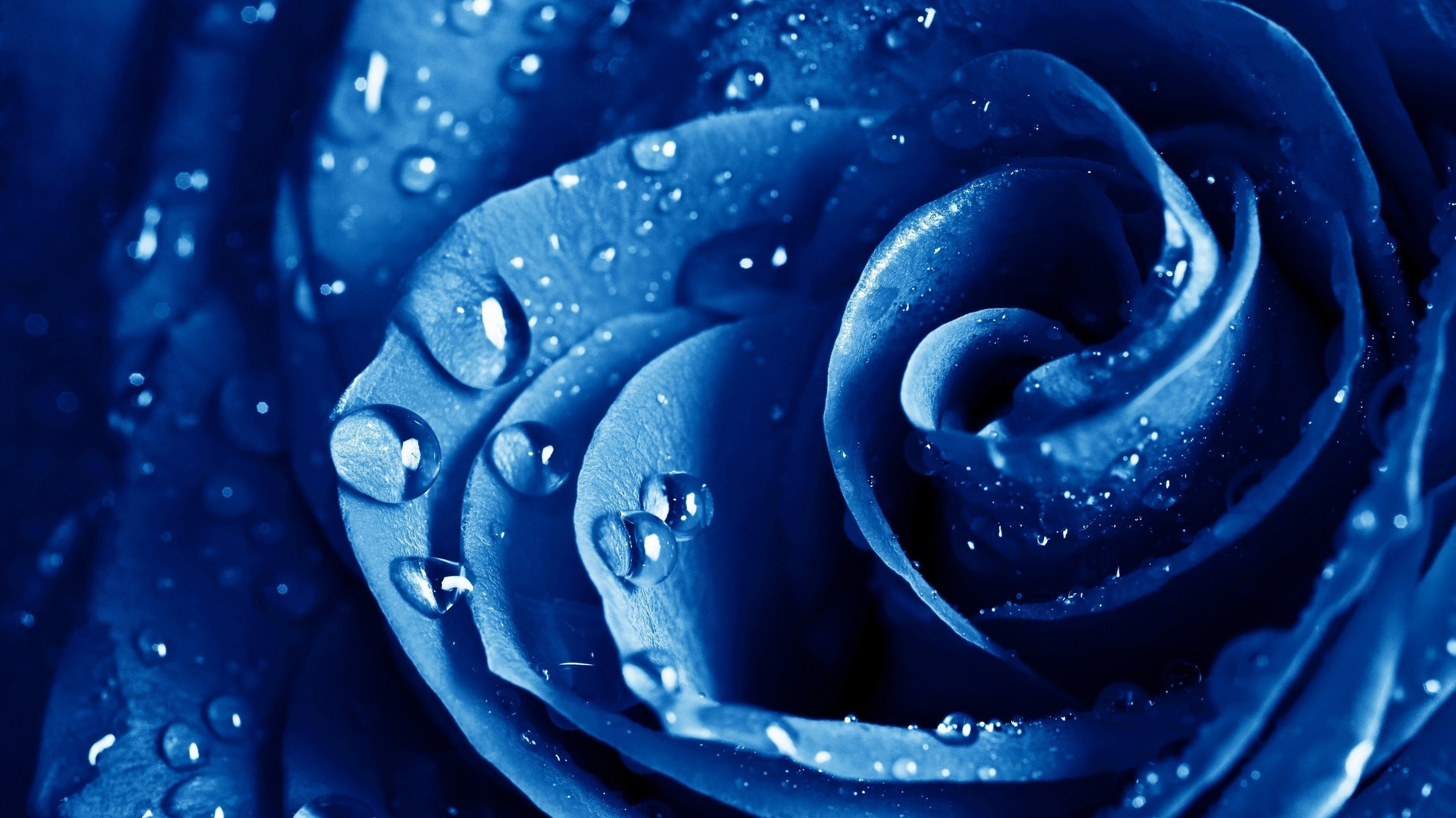 wet drops blue rose wallpapers in jpg format for free download