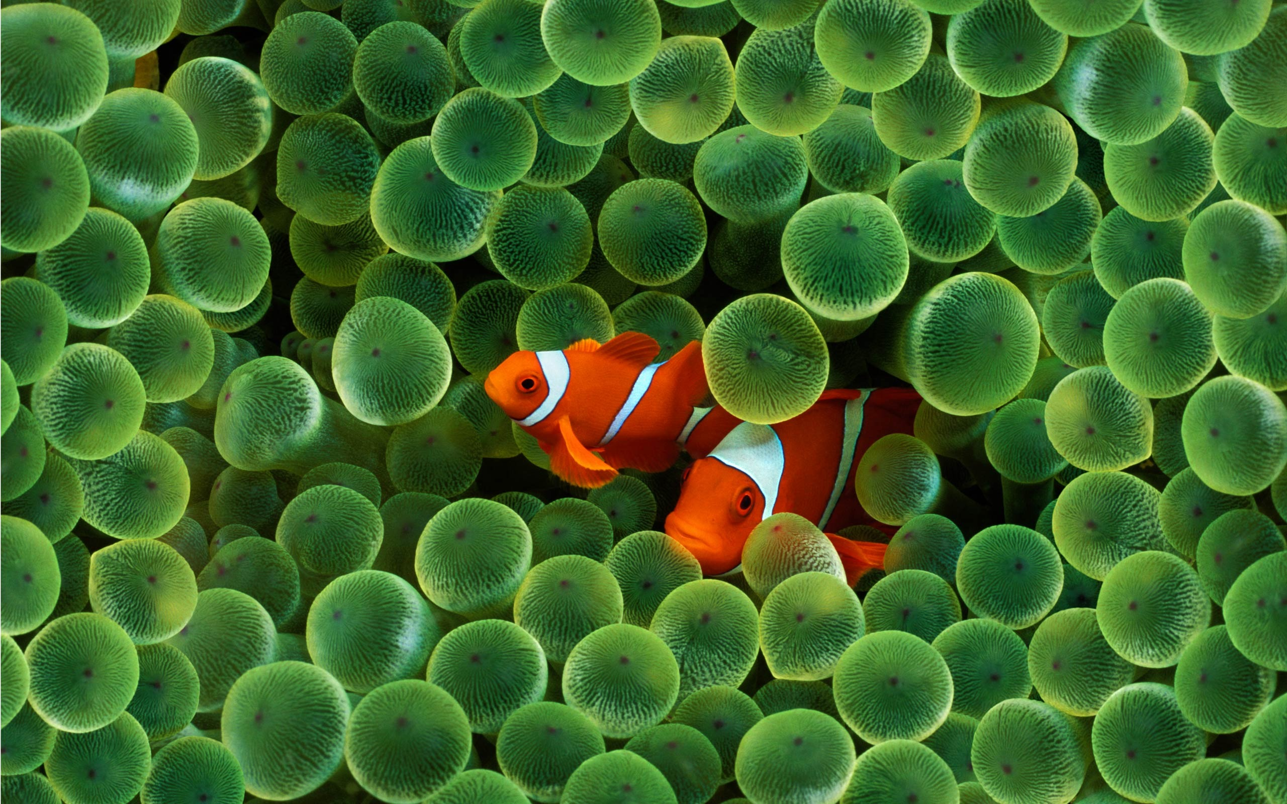 Clown Fish Wallpaper Fish Animals Wallpapers in jpg format for