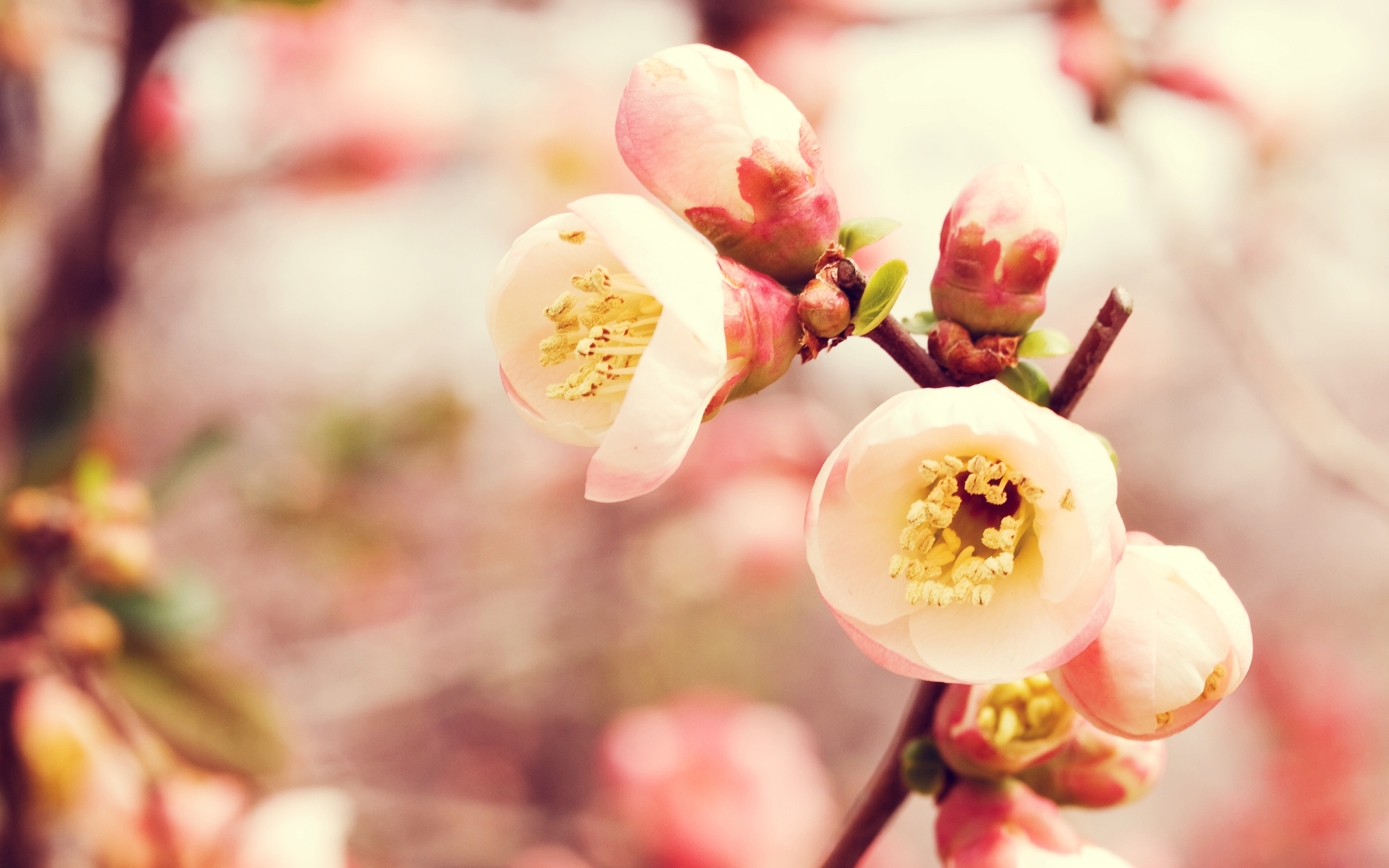 flowering quince wallpapers - Quince Flower