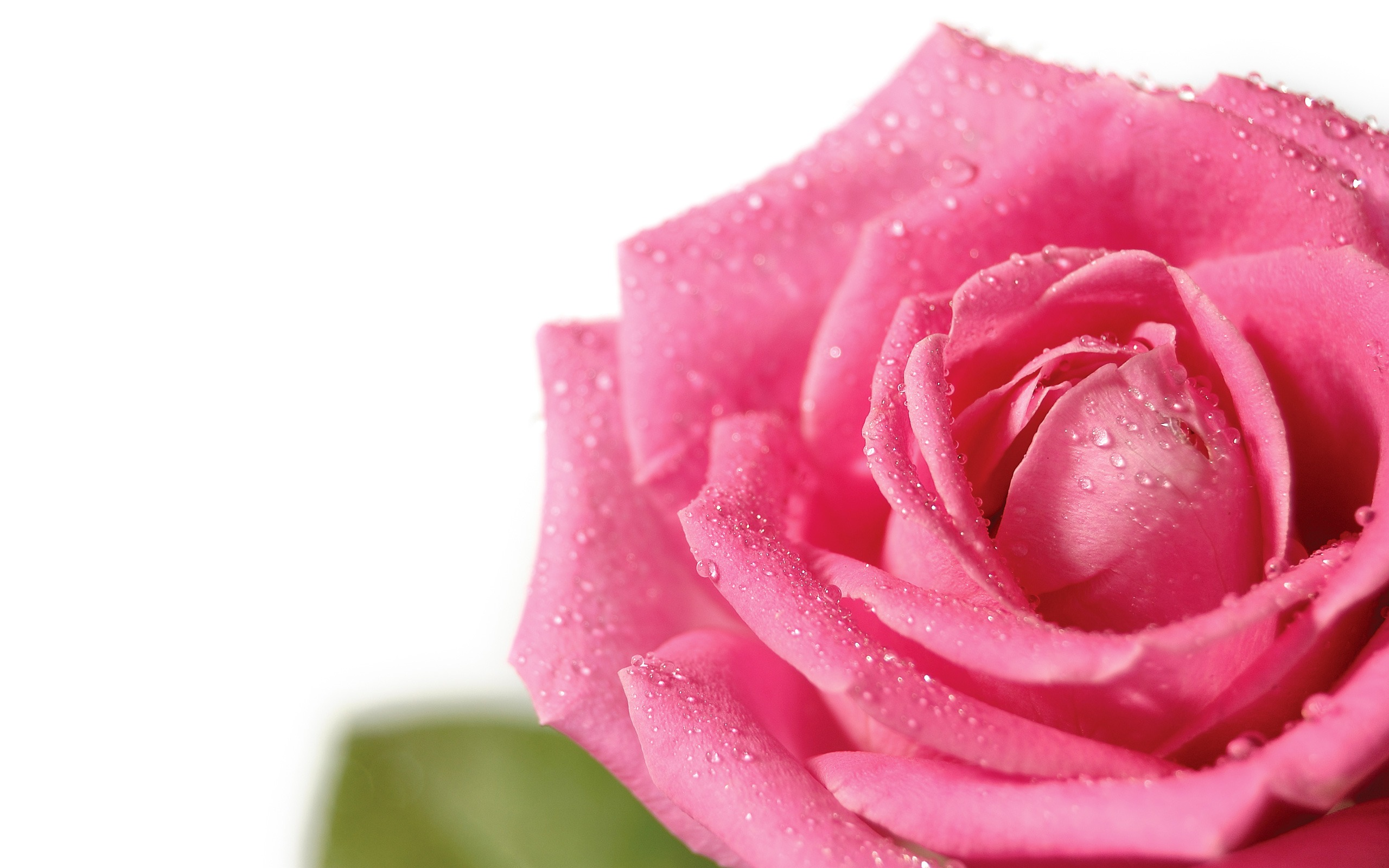 pink rose wallpaper flowers nature wallpapers for free download