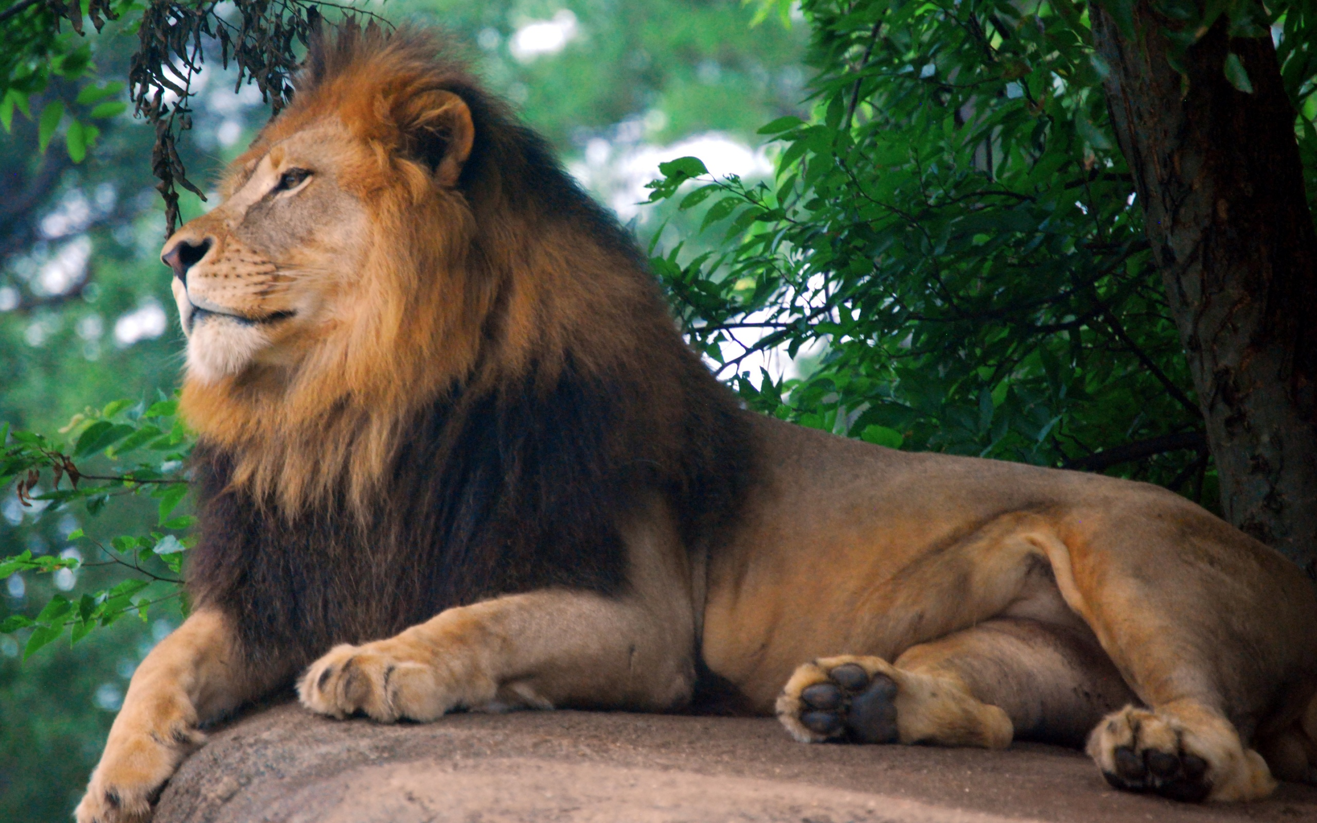 Lion King Of Zoo Wallpapers In Jpg Format For Free Download