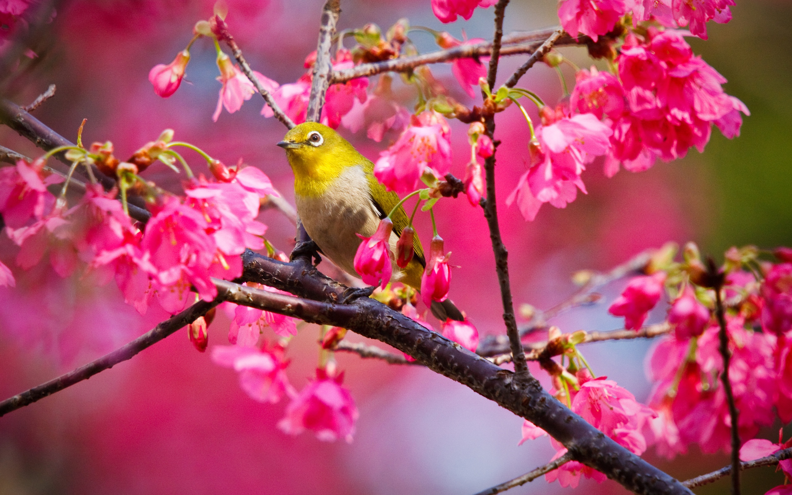 Mountain Cherry Bird Wallpapers In Jpg Format For Free Download