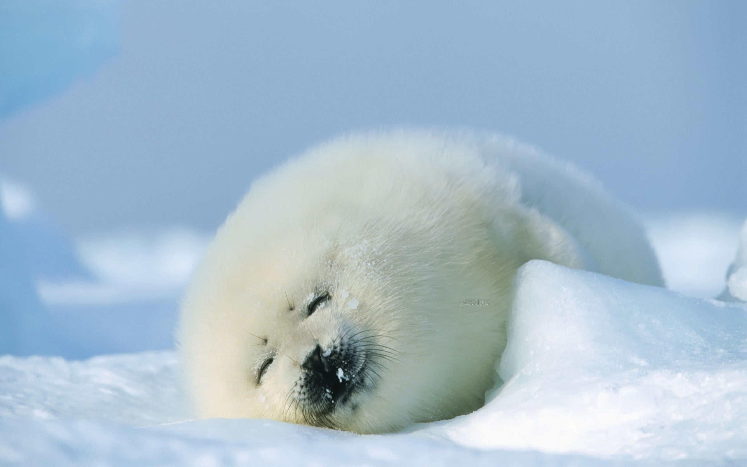 seal cub wallpaper baby animals animals wallpapers