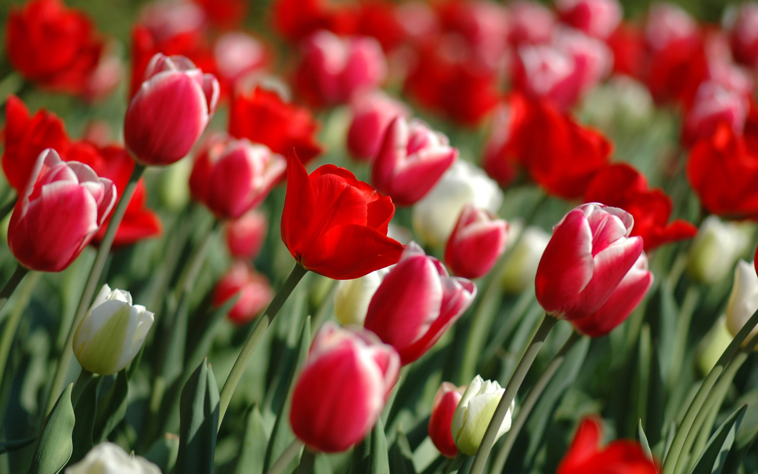 Spring tulips wallpaper flowers nature wallpapers in jpg format for spring tulips wallpaper flowers nature wallpapers thecheapjerseys Choice Image