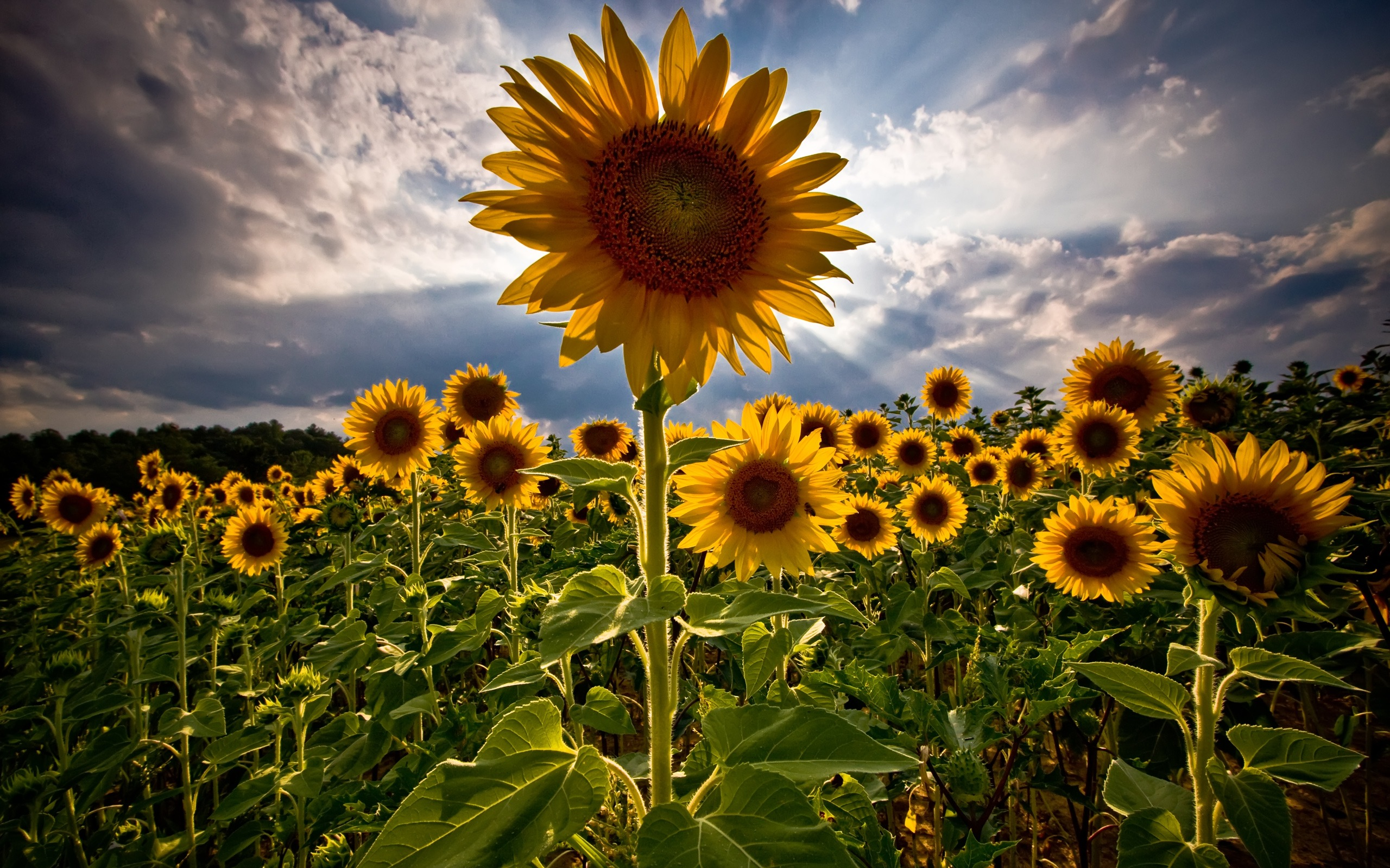 sunflowers wallpaper flowers nature wallpapers in jpg format for