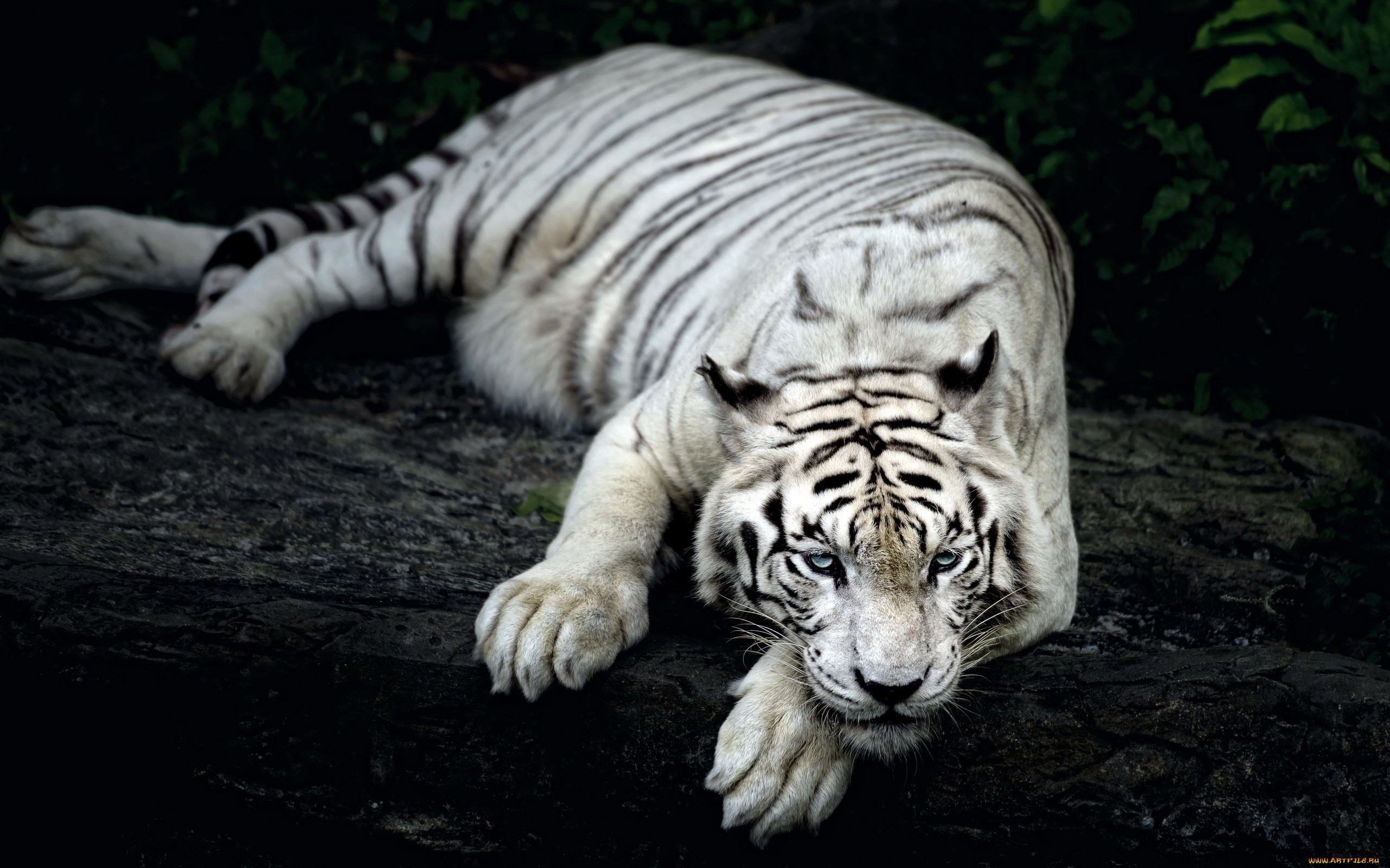 white tiger animal wallpapers in jpg format for free download