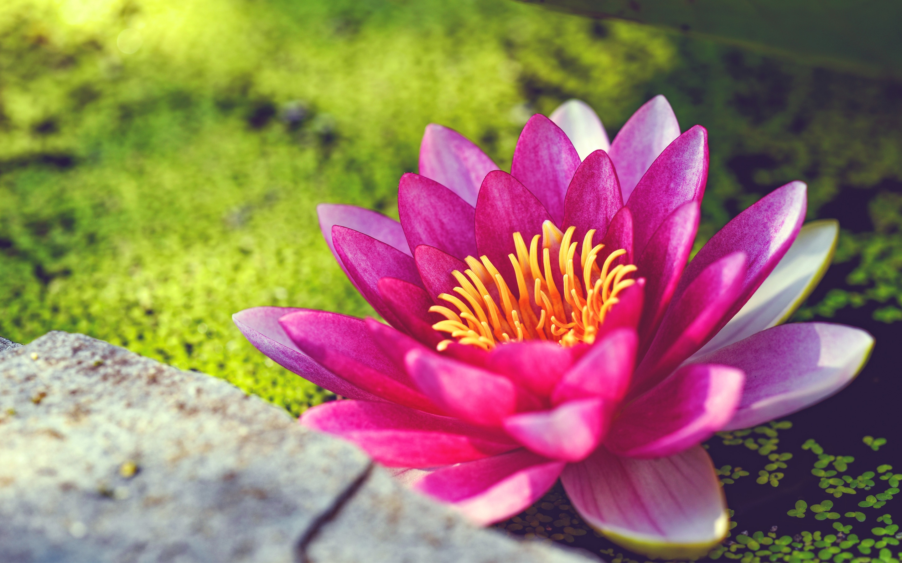 Pink water lily flower wallpapers in jpg format for free download 25601600 28801800 320480 izmirmasajfo