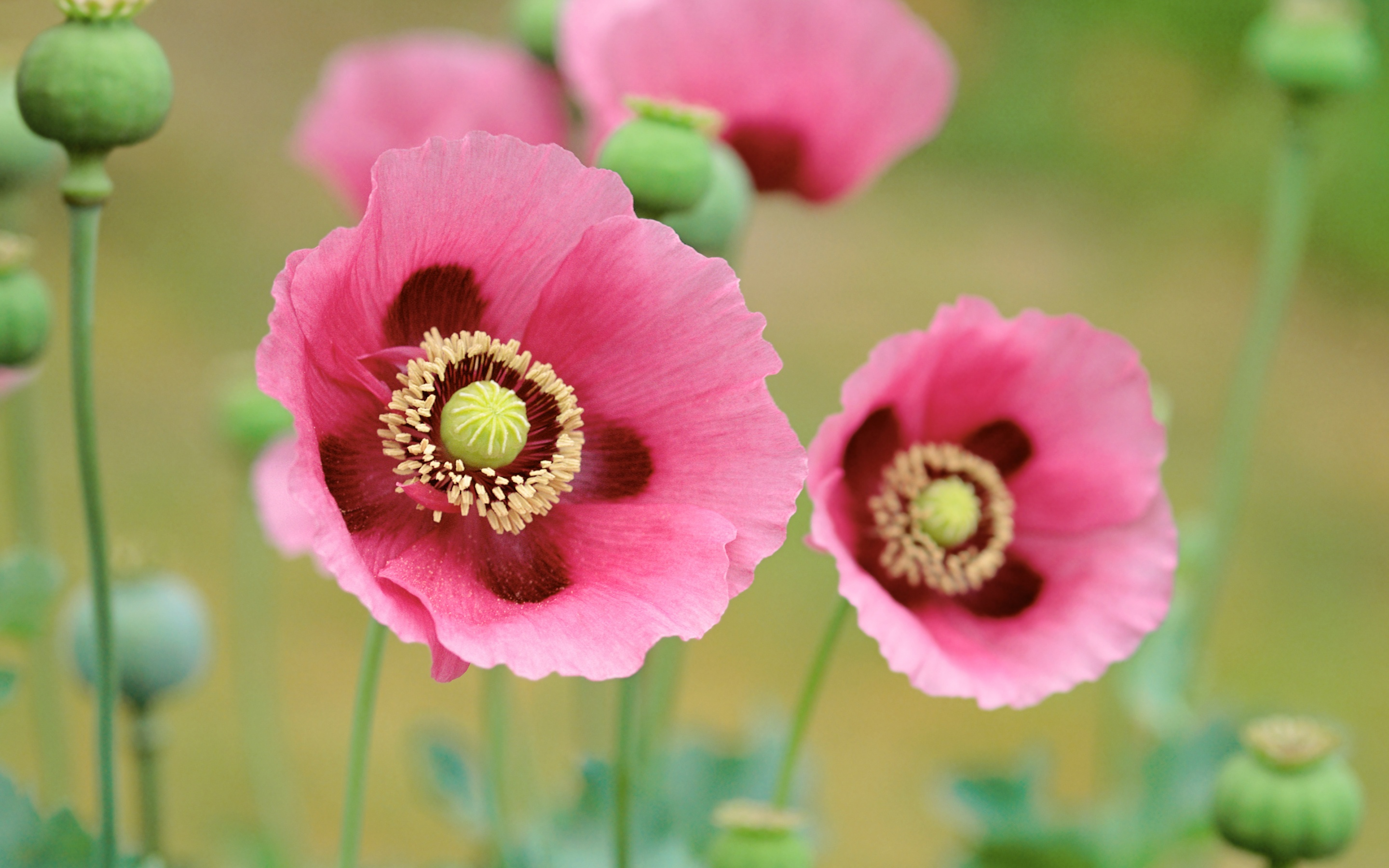 poppies flowers wallpapers in jpg format for free download