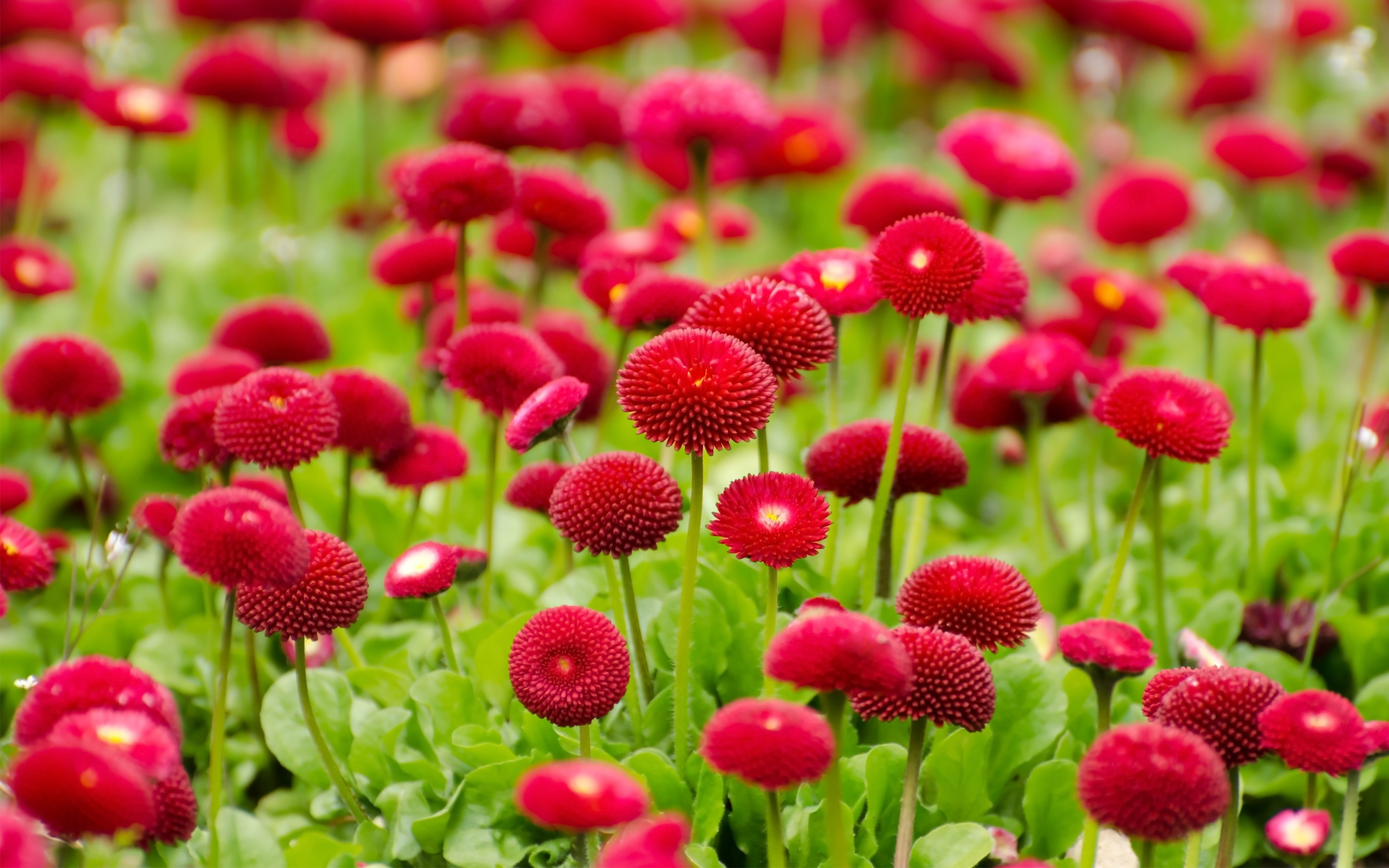 Summer Red Flowers Wallpapers