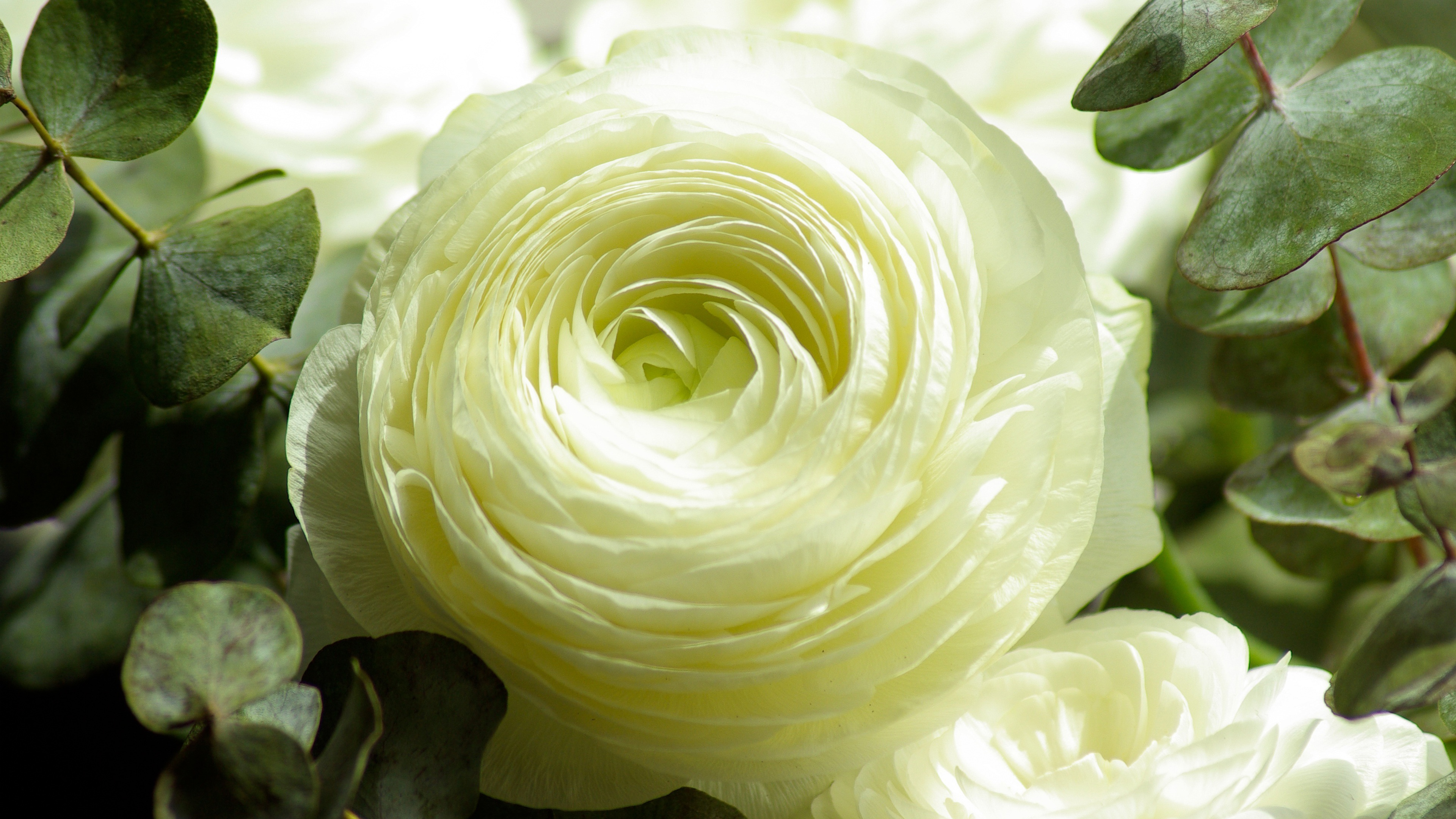 Persian Buttercup White Flower Wallpapers In Jpg Format For Free