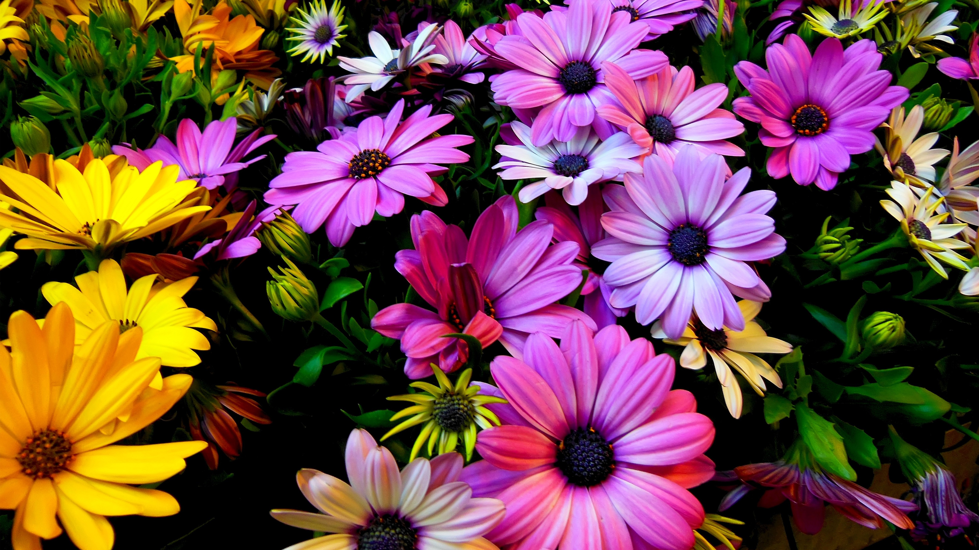 Purple Yellow Daisy Flowers Wallpapers In Jpg Format For Free Download