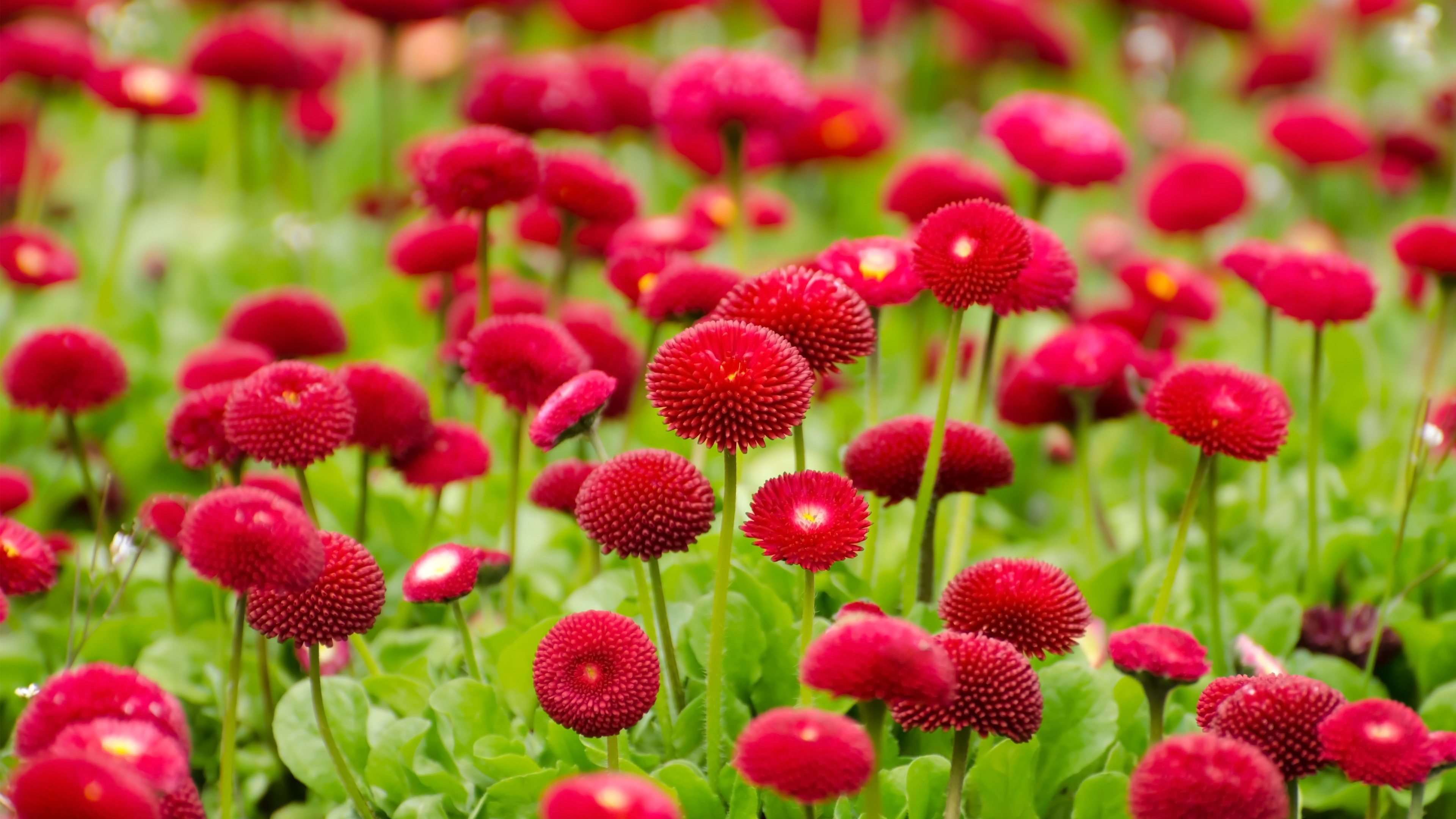 Red flowers wallpaper wallpapers for free download about (3,596 ...