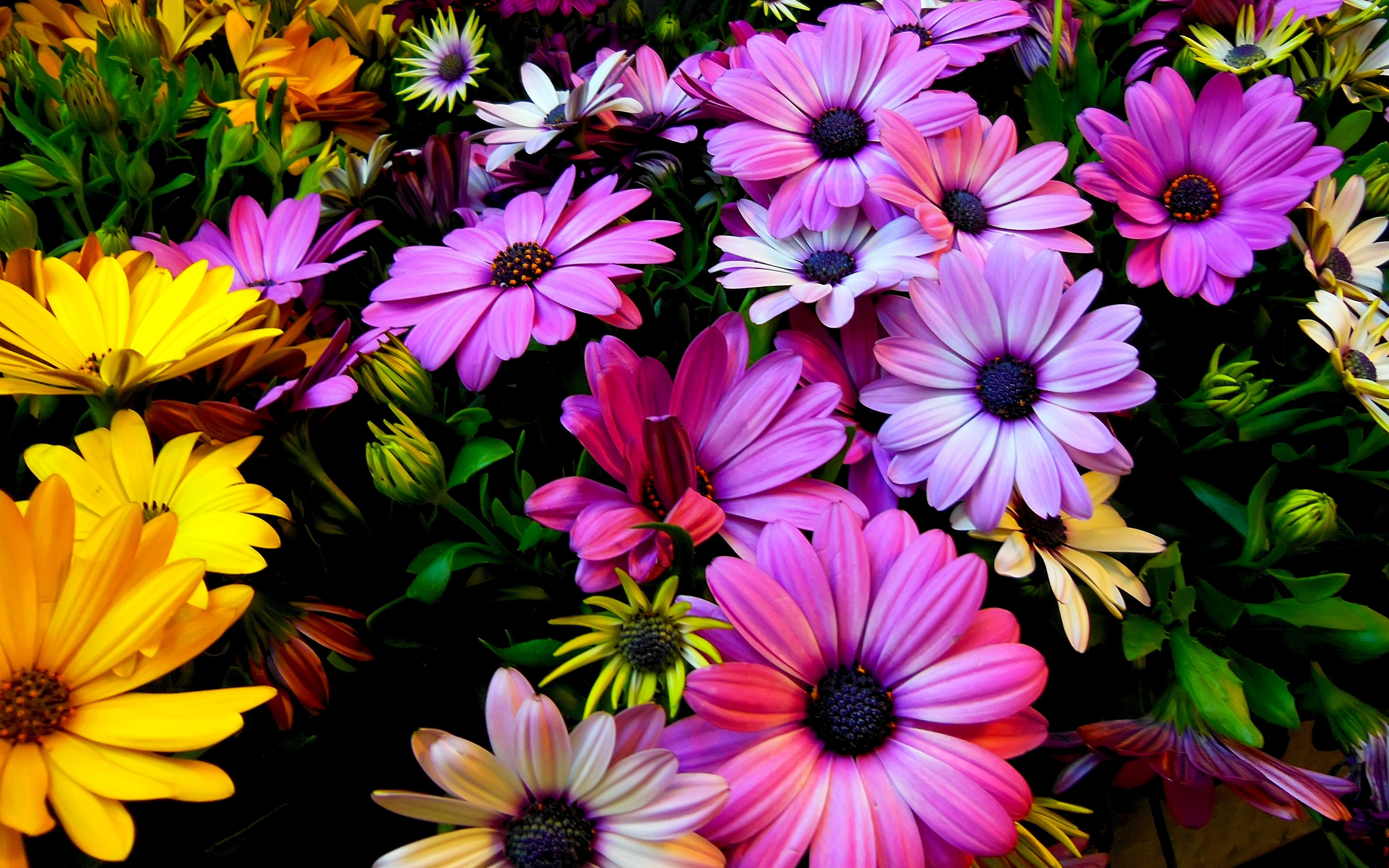 Purple yellow daisy flowers wallpapers in jpg format for free download 360640 38402160 38402400 izmirmasajfo