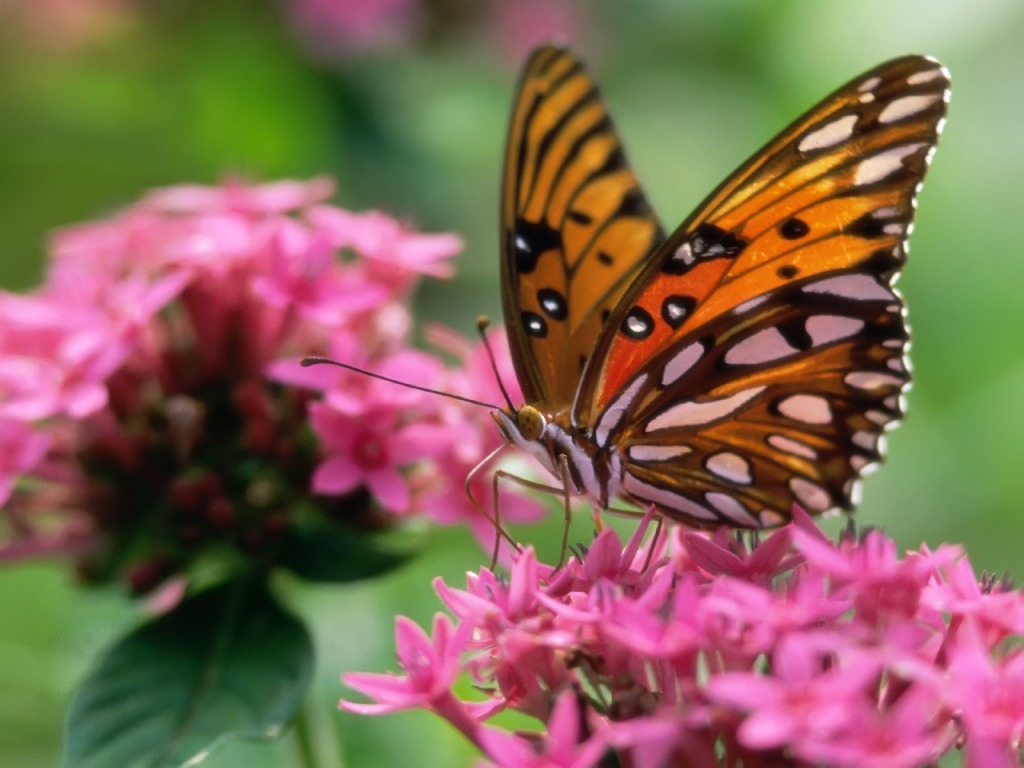 Butterfly on a pink flower Wallpaper Butterflies Animals ...