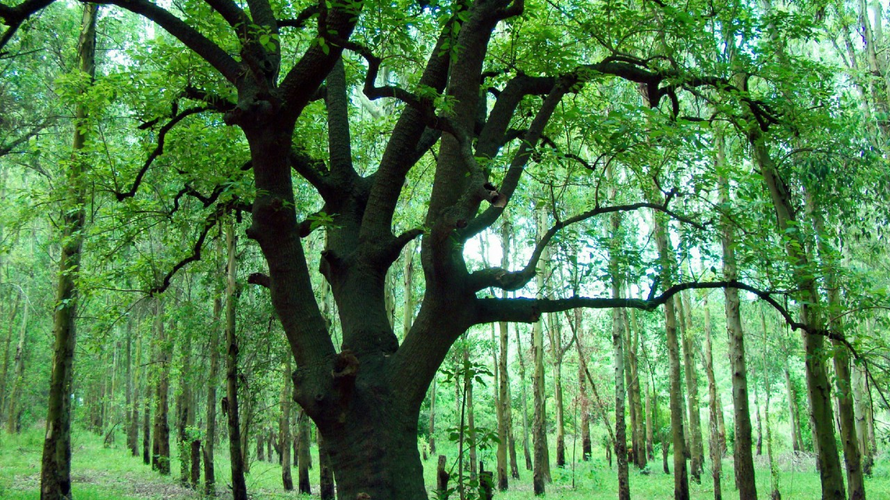ombu tree wallpaper plants nature wallpapers in jpg format for free download