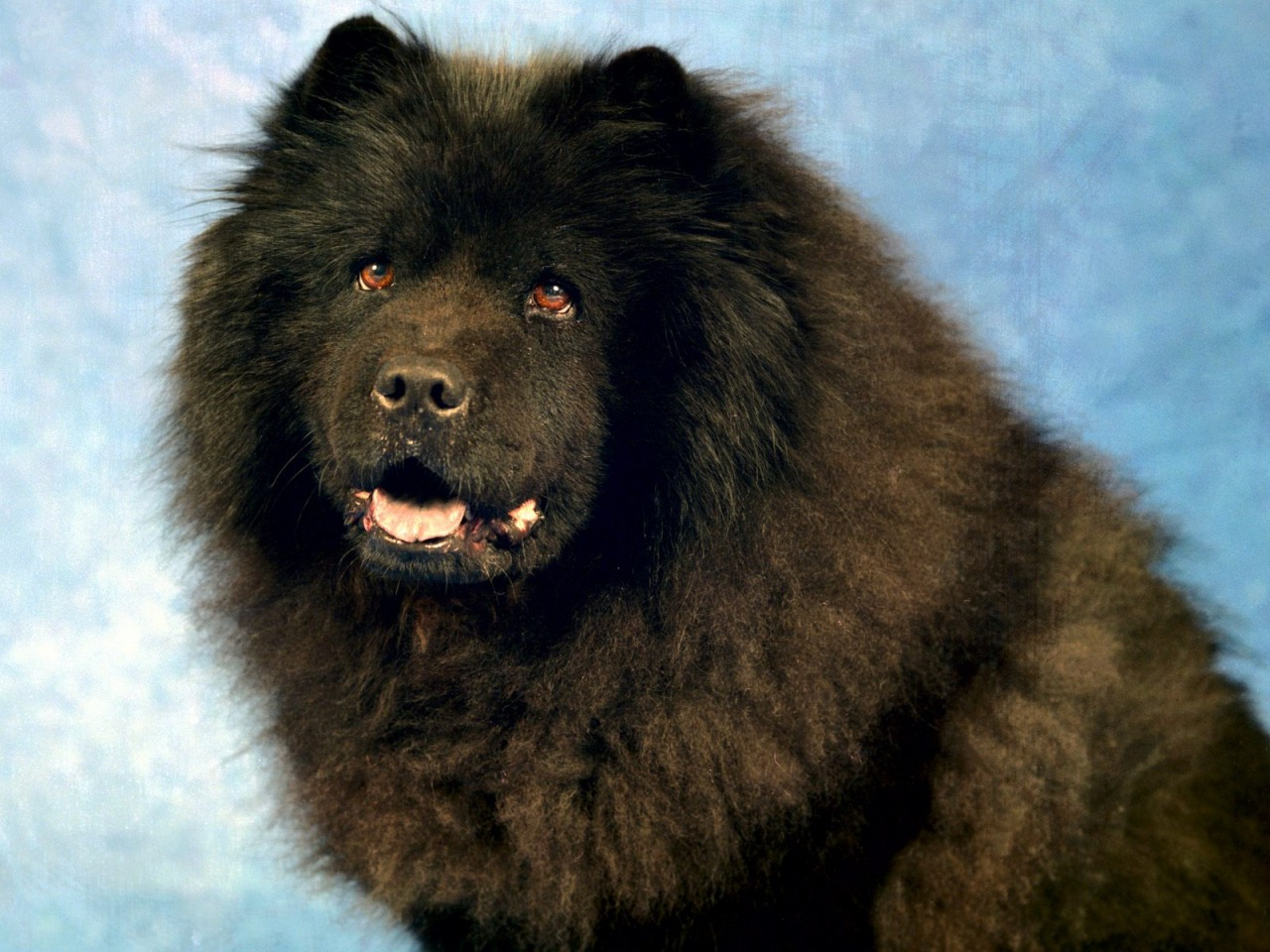 Black Chow Chow Wallpaper Dogs Animals Wallpapers In Jpg