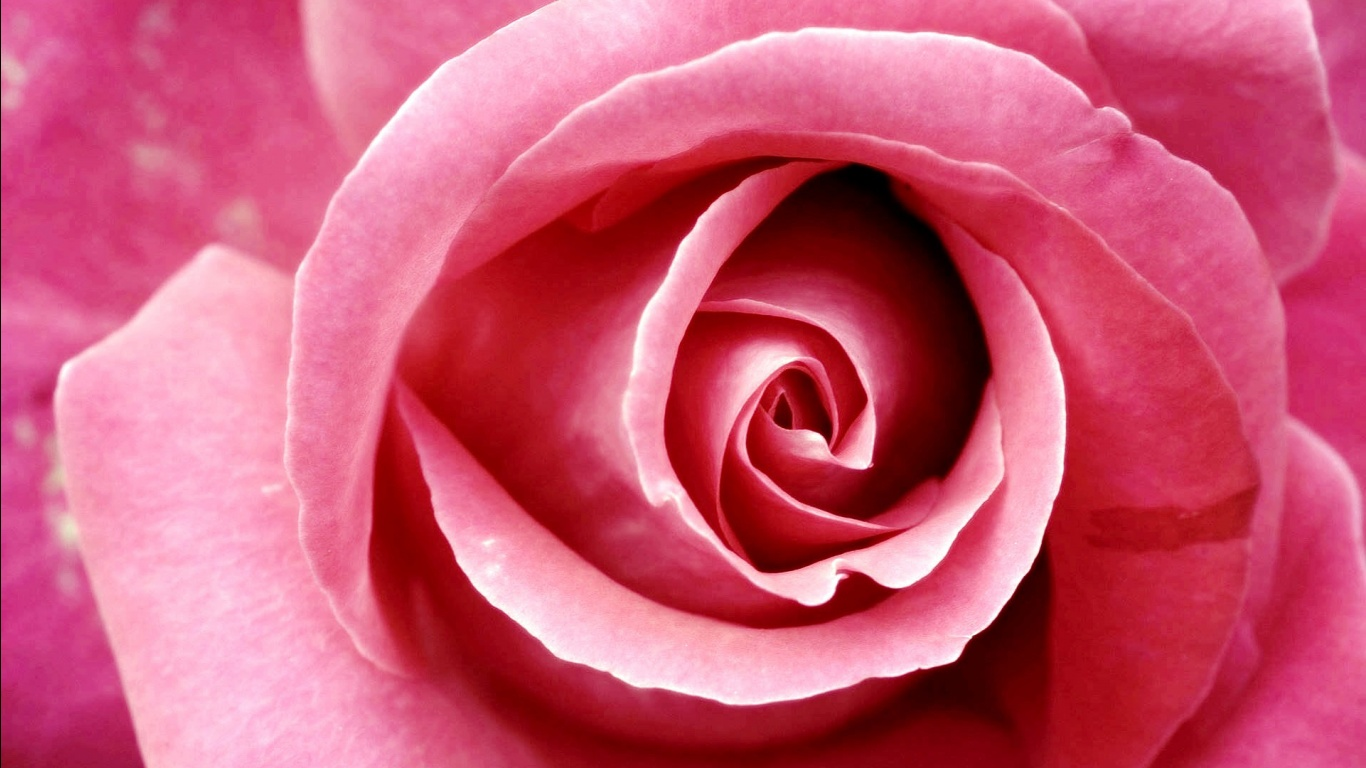 Beautiful Pink Rose Wallpapers in jpg format for free download