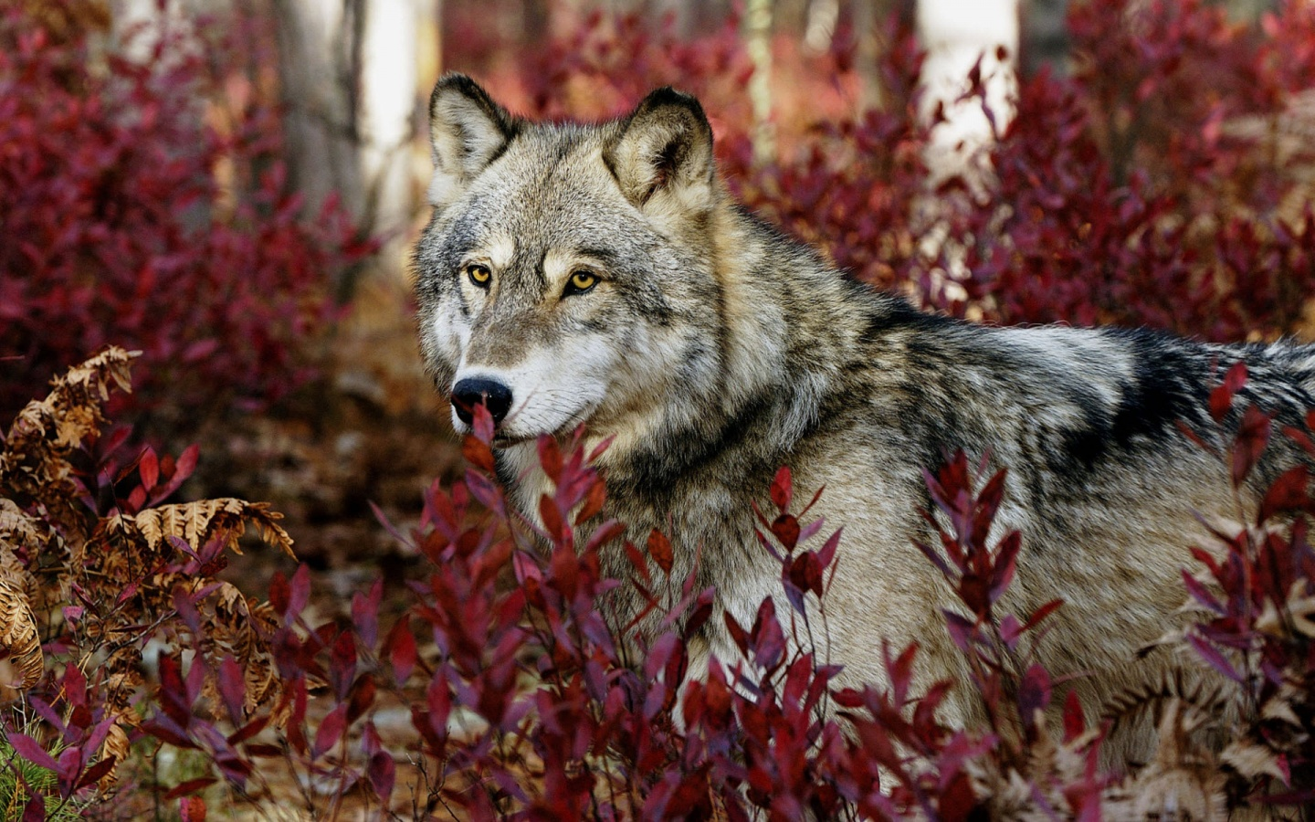 Gray Wolf Wallpapers In Jpg Format For Free Download