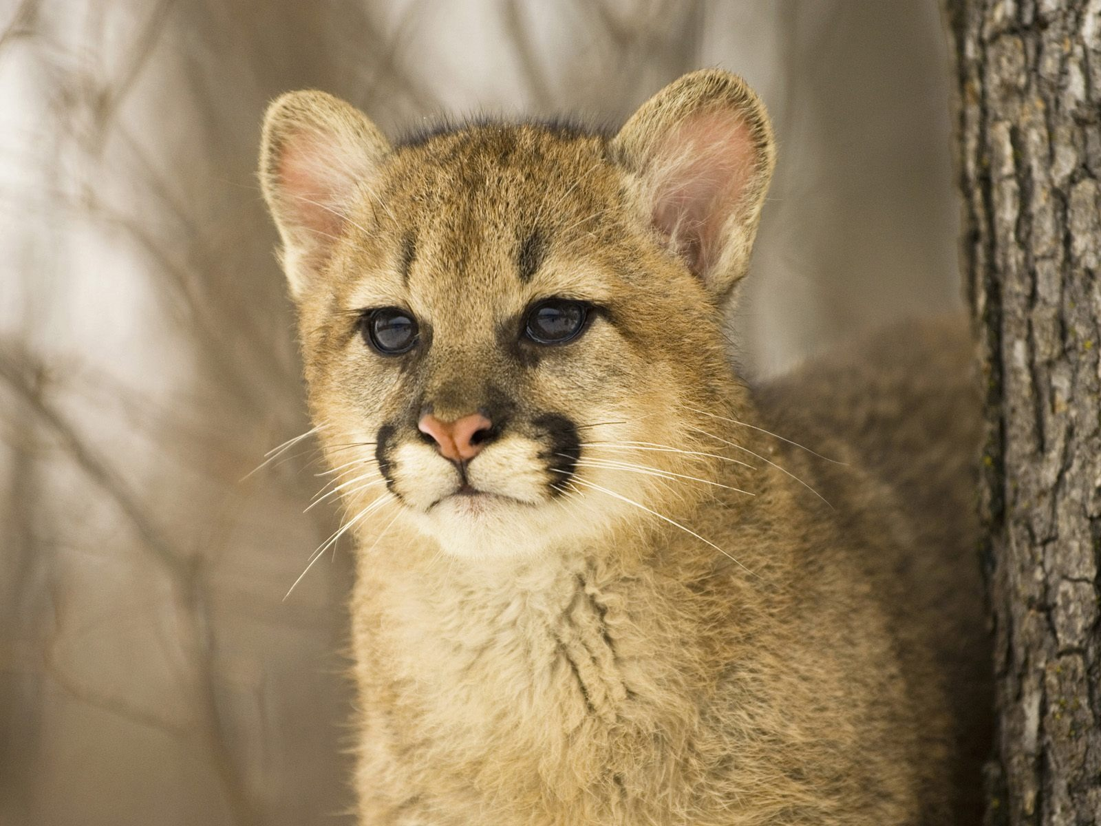 roan mountain cougars dating site A washington state woman who spotted what she initially thought to be a dog in her yard was shocked to discover it was actually one of two cougars.