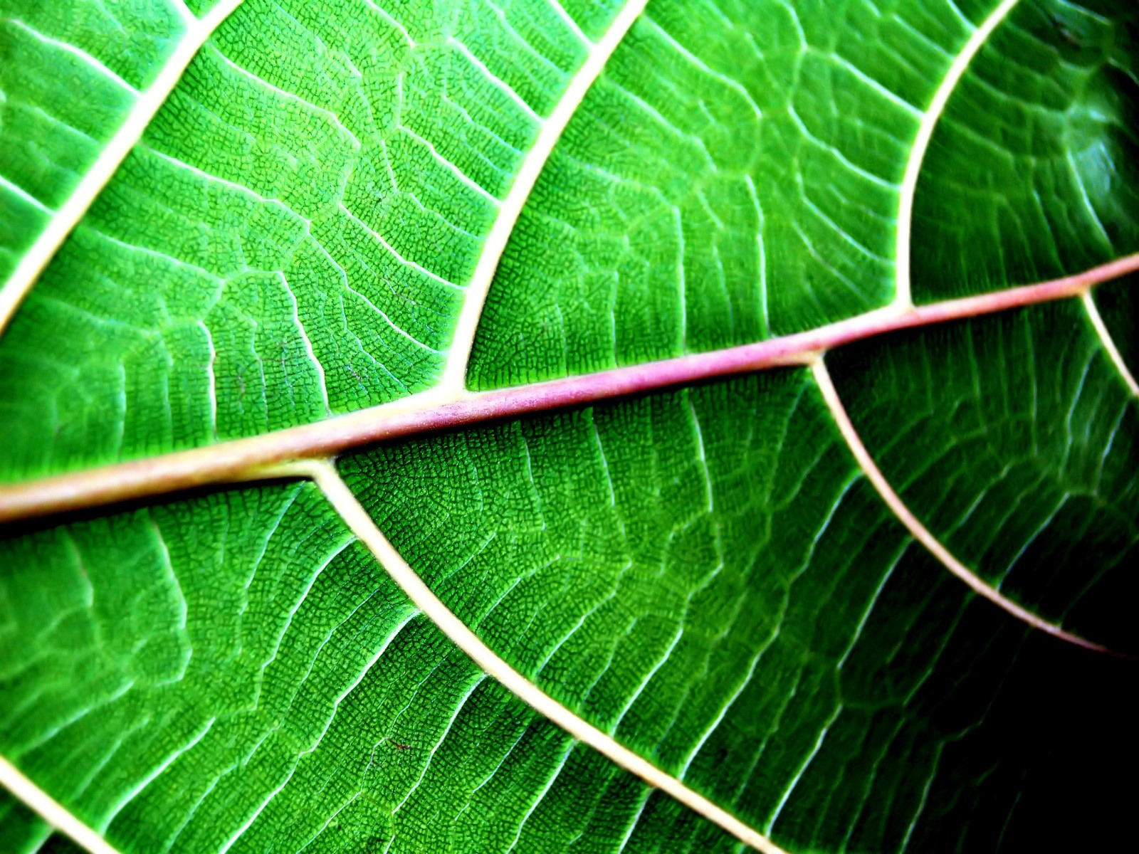 leaf structure nature plants 1200 wallpapers 1600 plant leaves anatomy