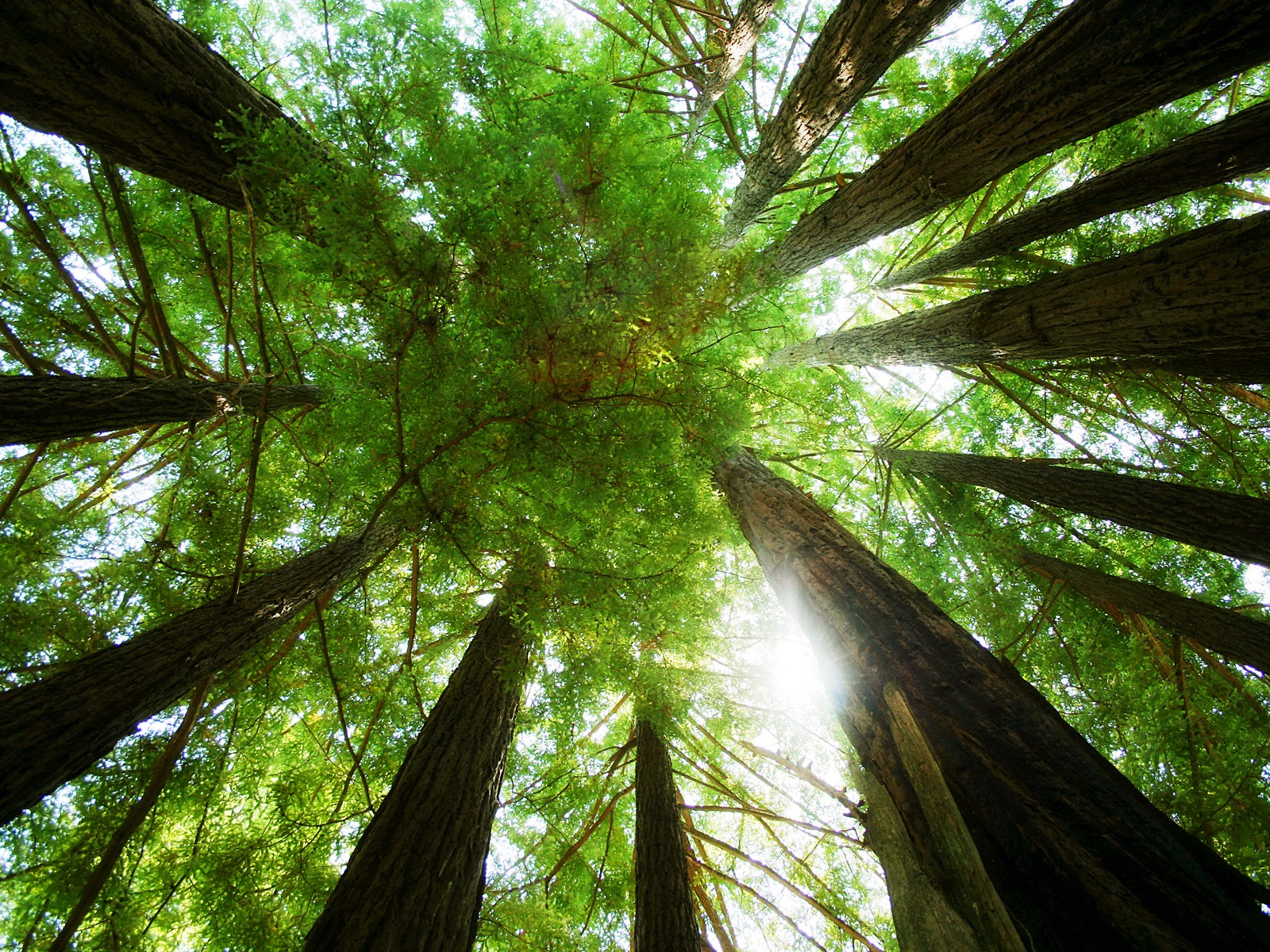Ring Of Redwoods Wallpaper Plants Nature Wallpapers In Jpg