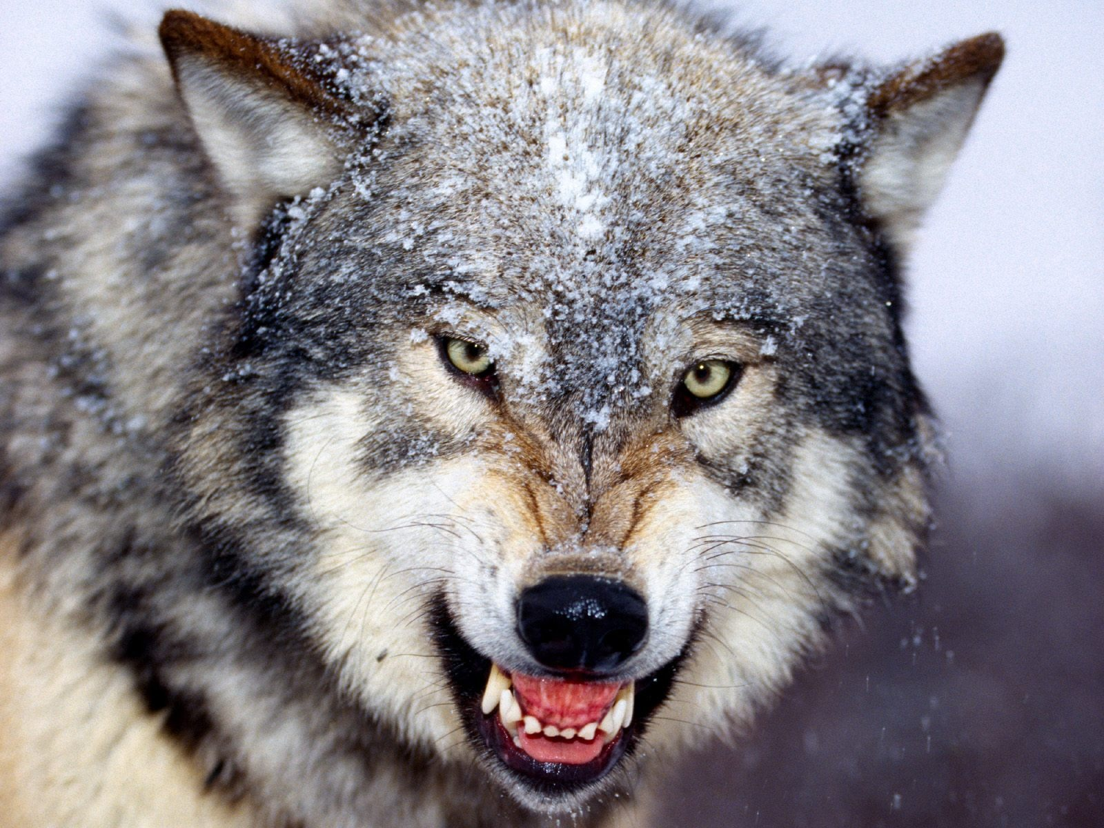 Snarling Gray Wolf Wallpaper Wolves Animals Wallpapers In