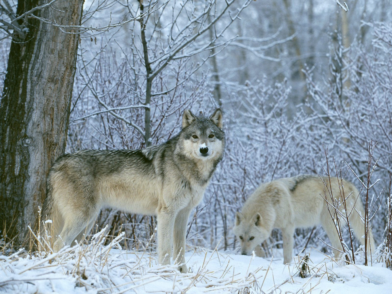 Winter Land Wolves Wallpaper Wolves Animals Wallpapers In