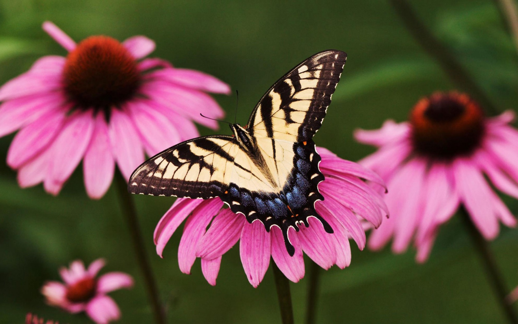 Purple Coneflower Wallpapers: Tiger Swallowtail Butterfly Purple Coneflower Wallpapers