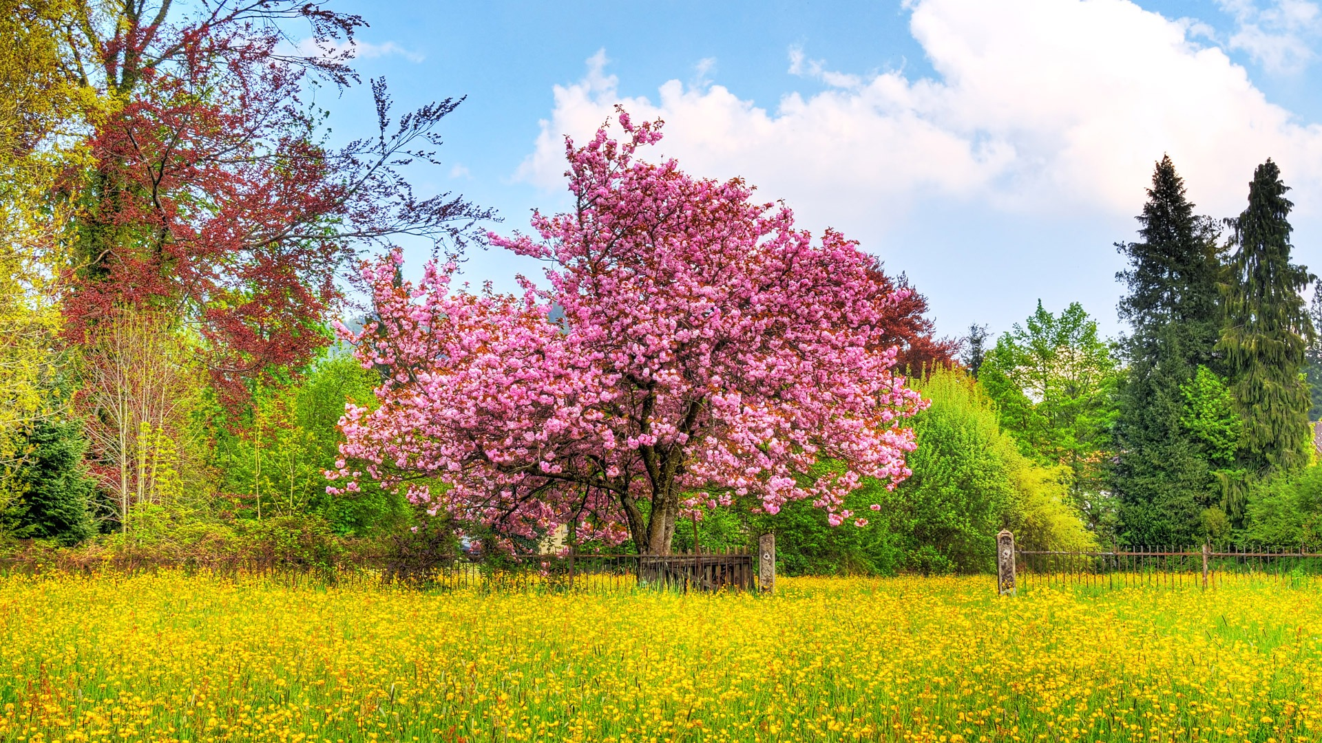 cherry tree wallpaper plants nature wallpapers in jpg format for free download