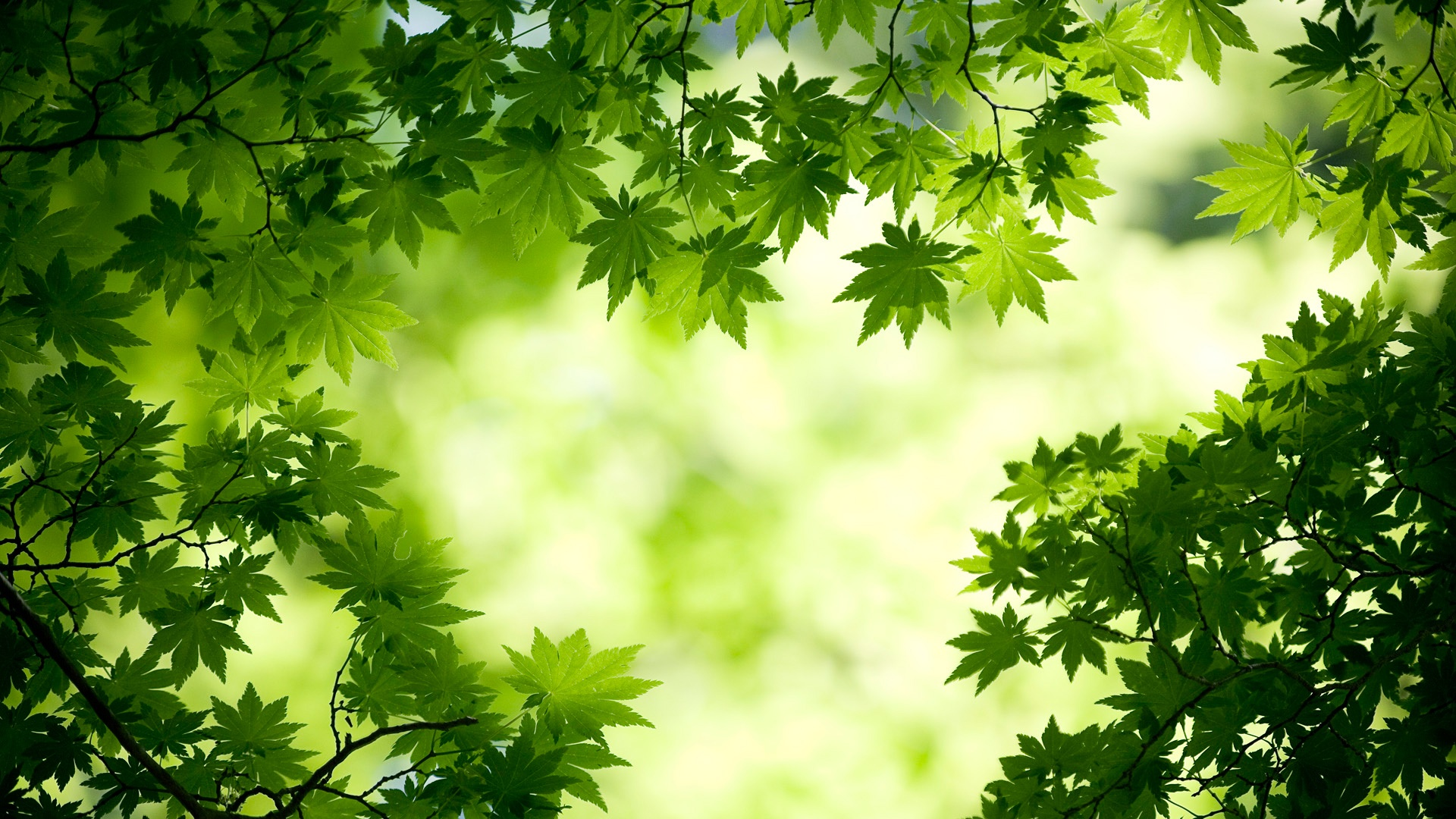 green maple leaves wallpapers in jpg format for free download