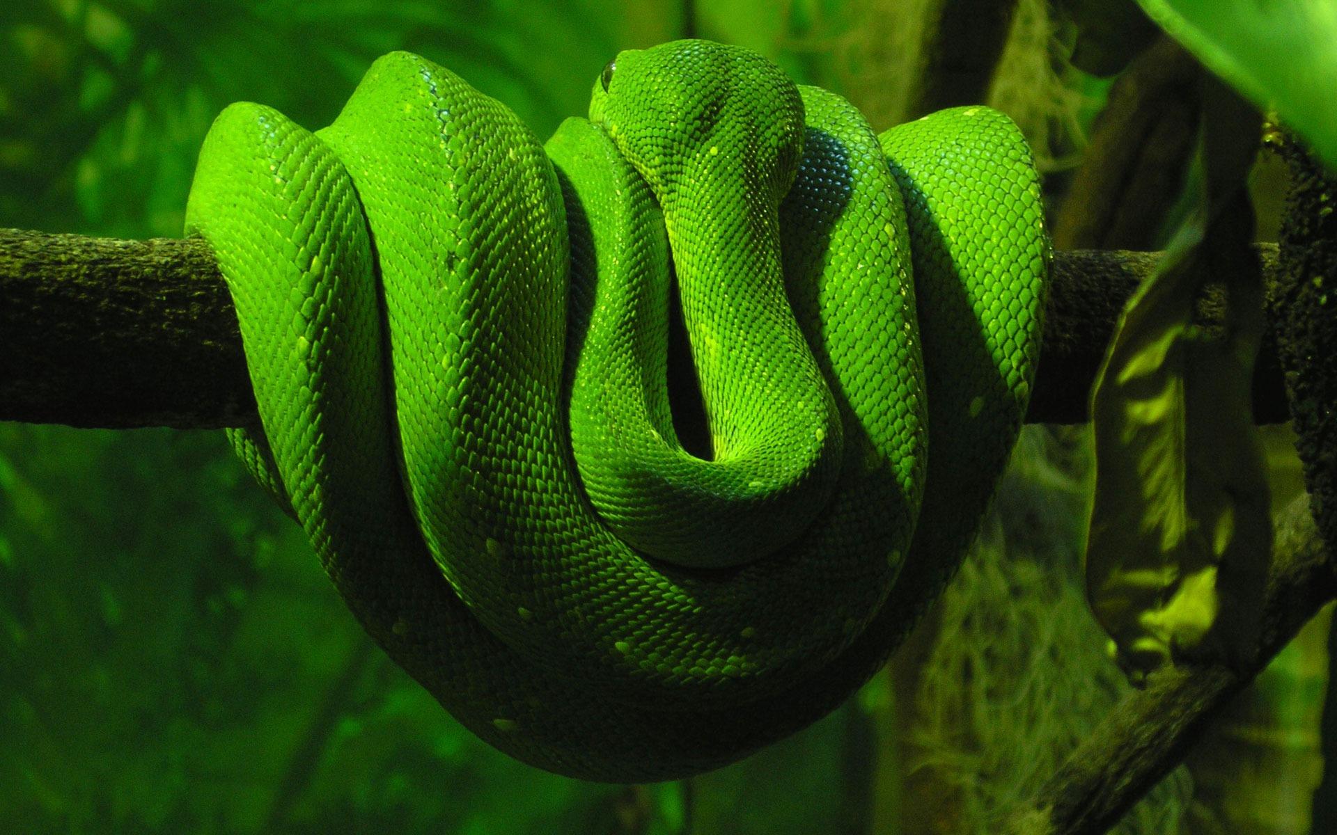 Green Snake Wallpaper Snakes Animals Wallpapers in jpg ...