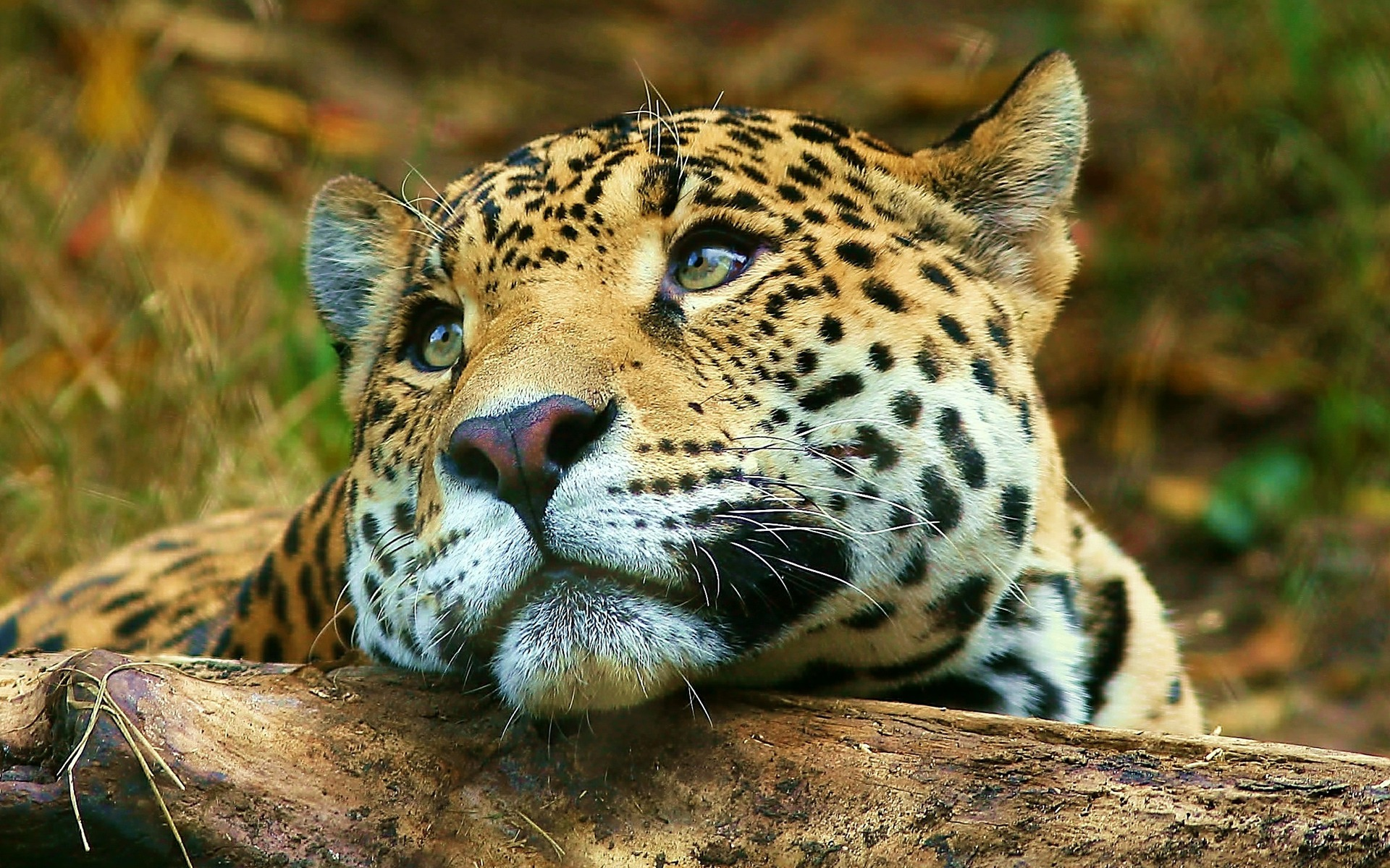 All Animals Wallpaper: Leopard Daydreaming Wallpaper Big Cats Animals Wallpapers