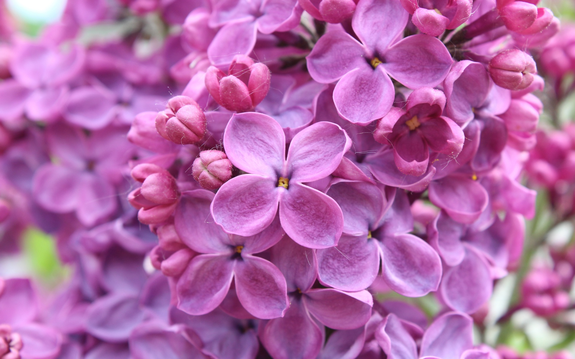 lilac flower wallpaper jpg - photo #7