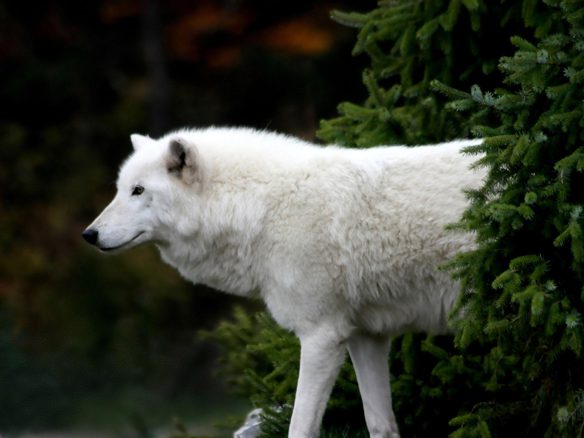 Arctic Wolf Wallpaper Wolves Animals Wallpapers In Jpg