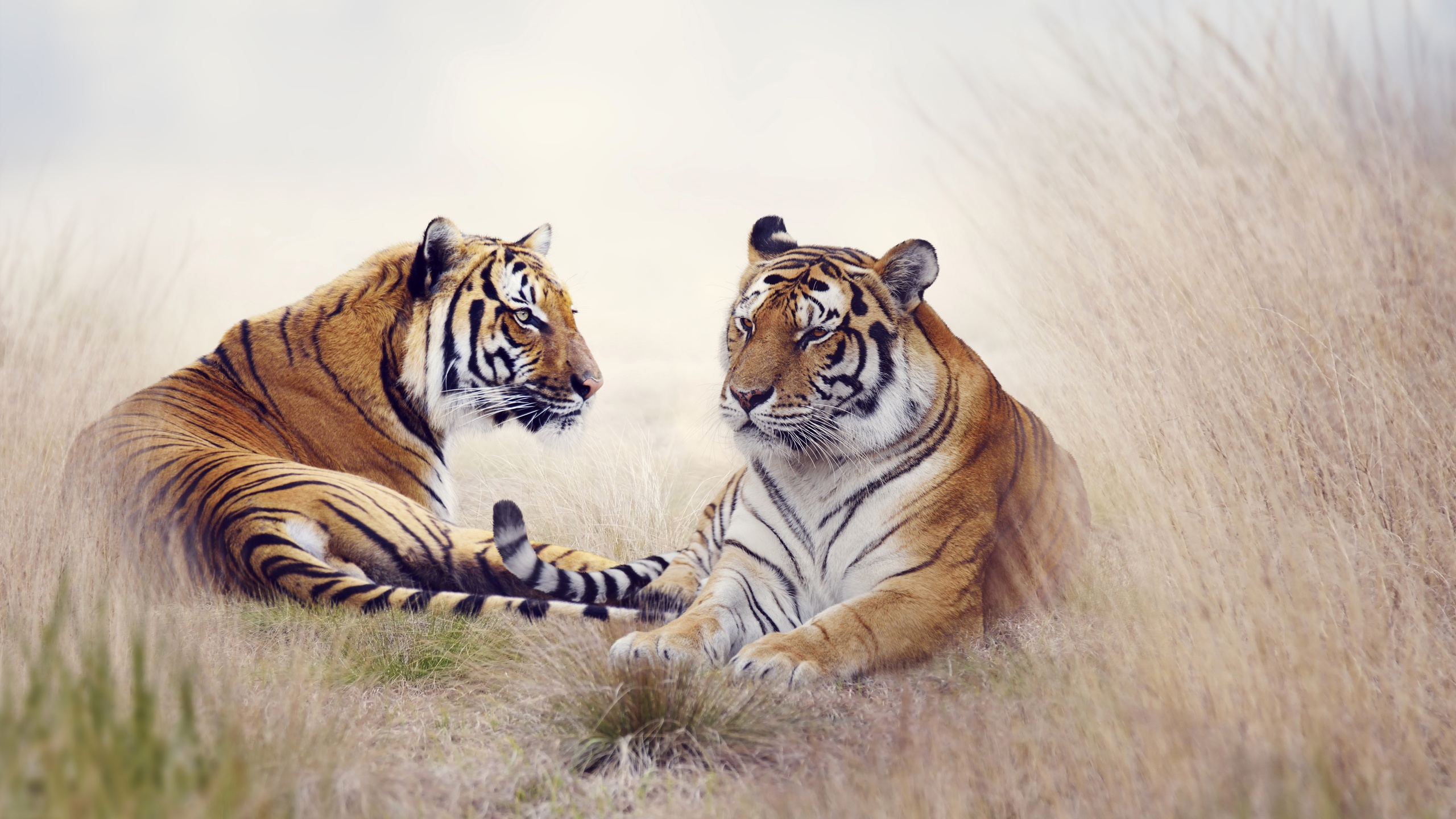 Tiger Pair 5k Wallpapers In Jpg Format For Free Download