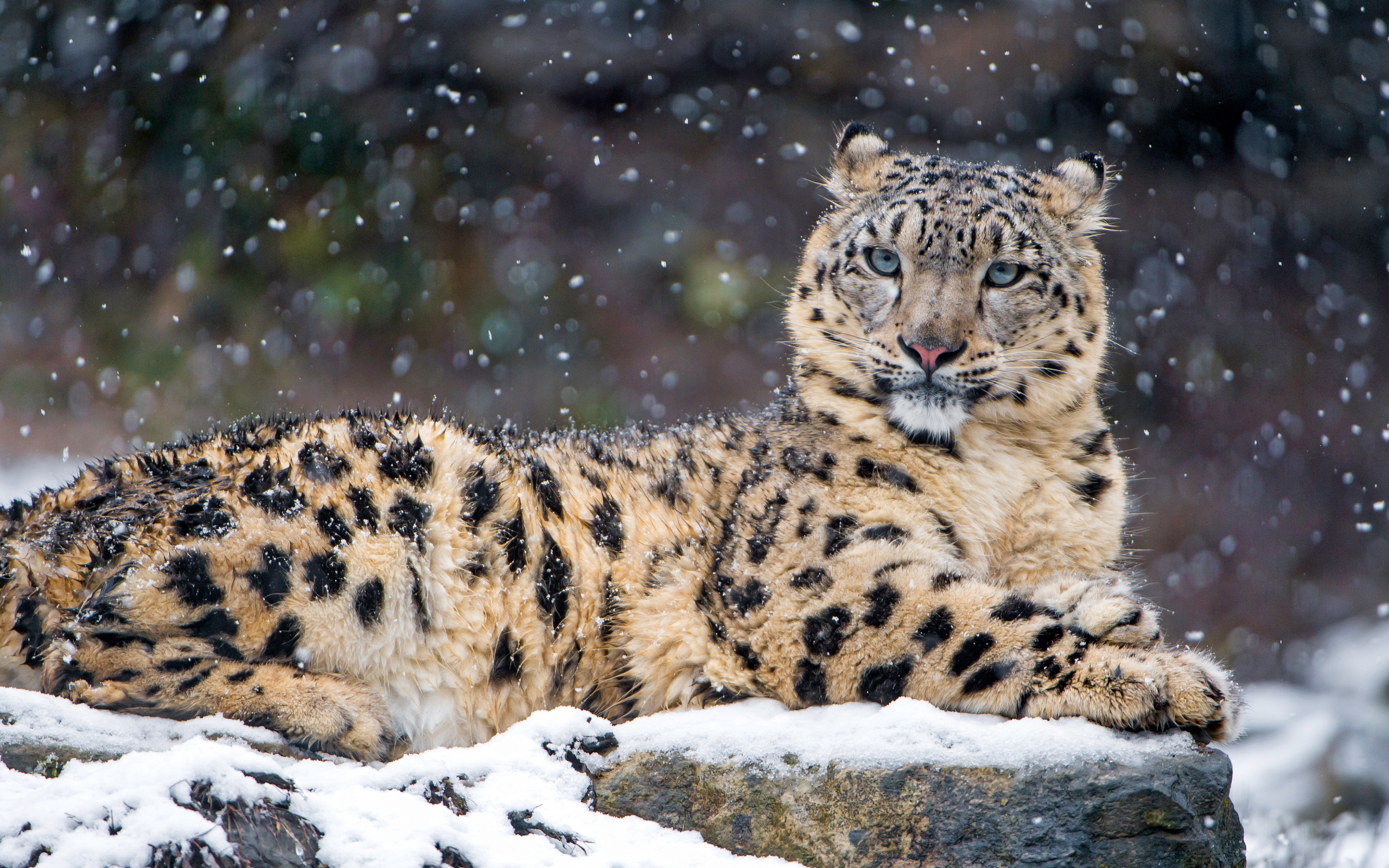 Snow Leopard 4K Wallpapers In Jpg Format For Free Download